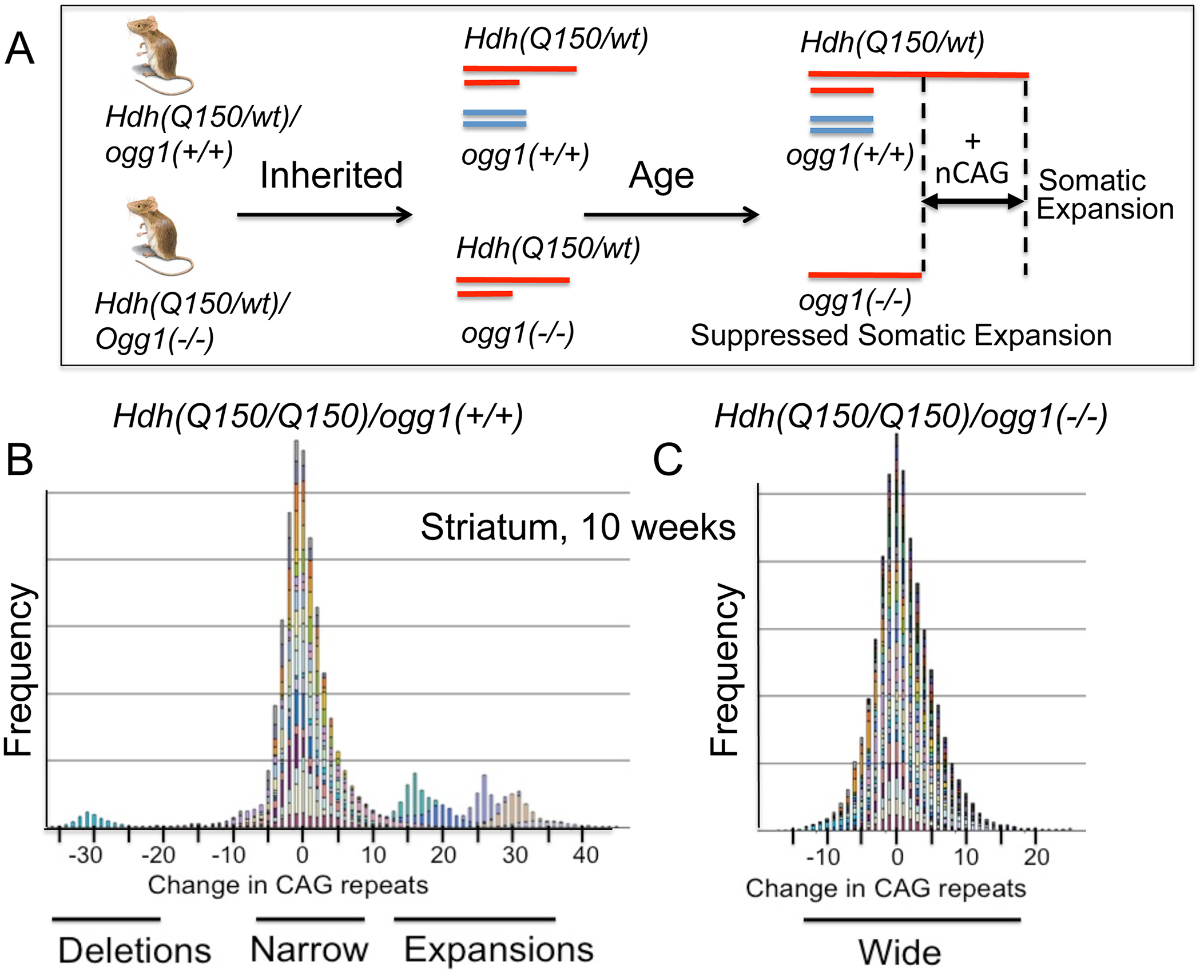 Loss of OGG1 suppresses the average repeat length in <i>Hdh(Q150/Q150)/ogg1(-/-)</i> animals.