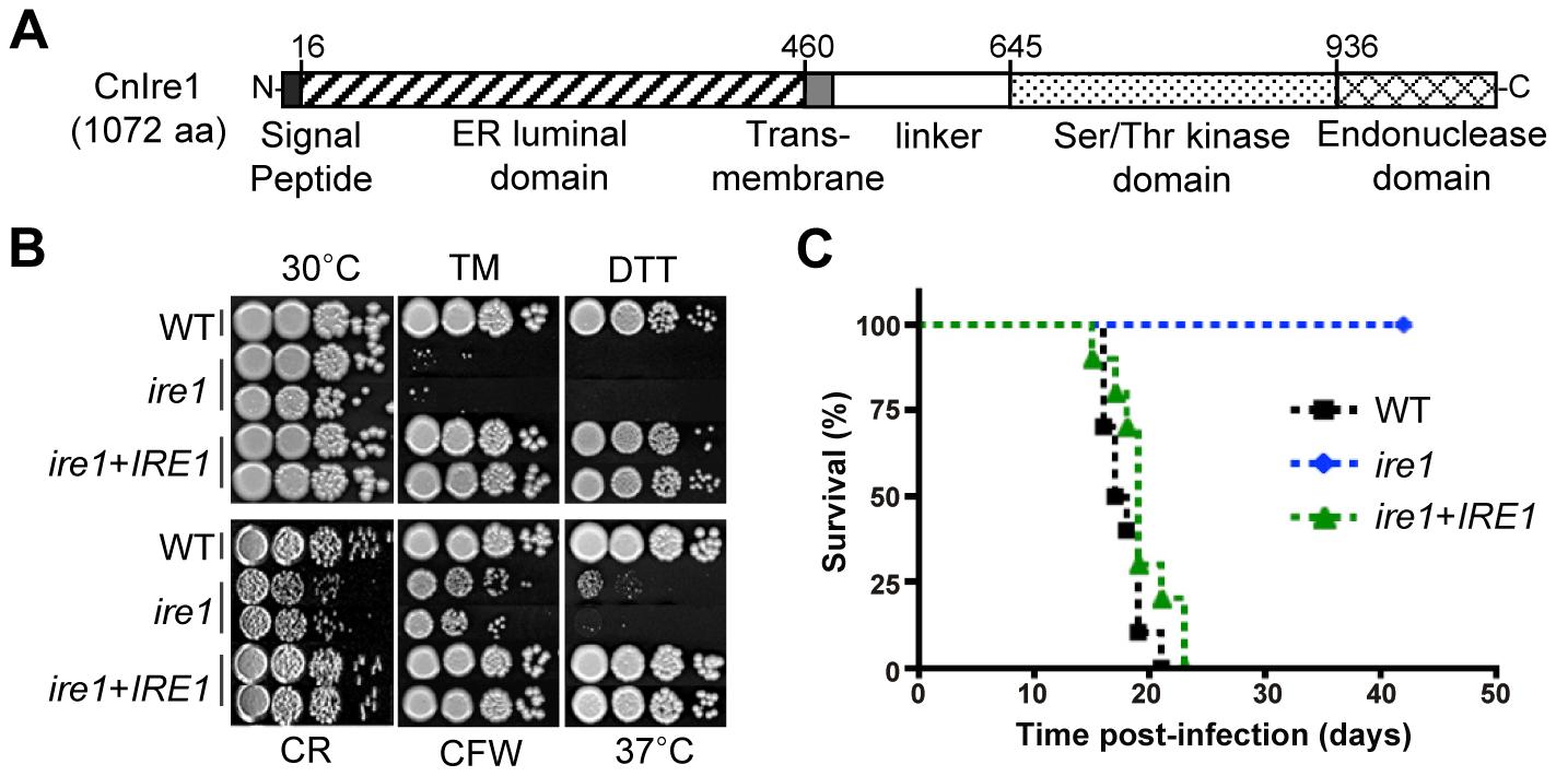 Functional analyses of <i>C. neoformans ire1</i> strains.