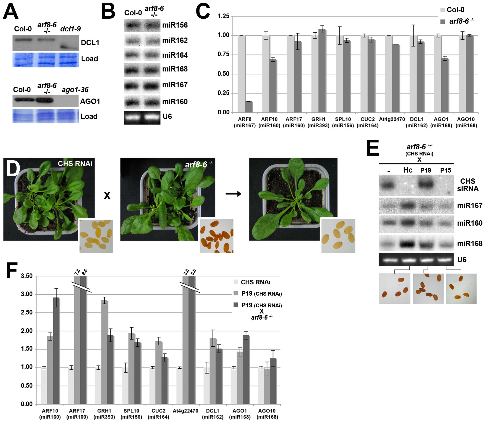 RNAi and miRNA-mediated gene silencing are not compromised by the <i>arf8</i> mutation.