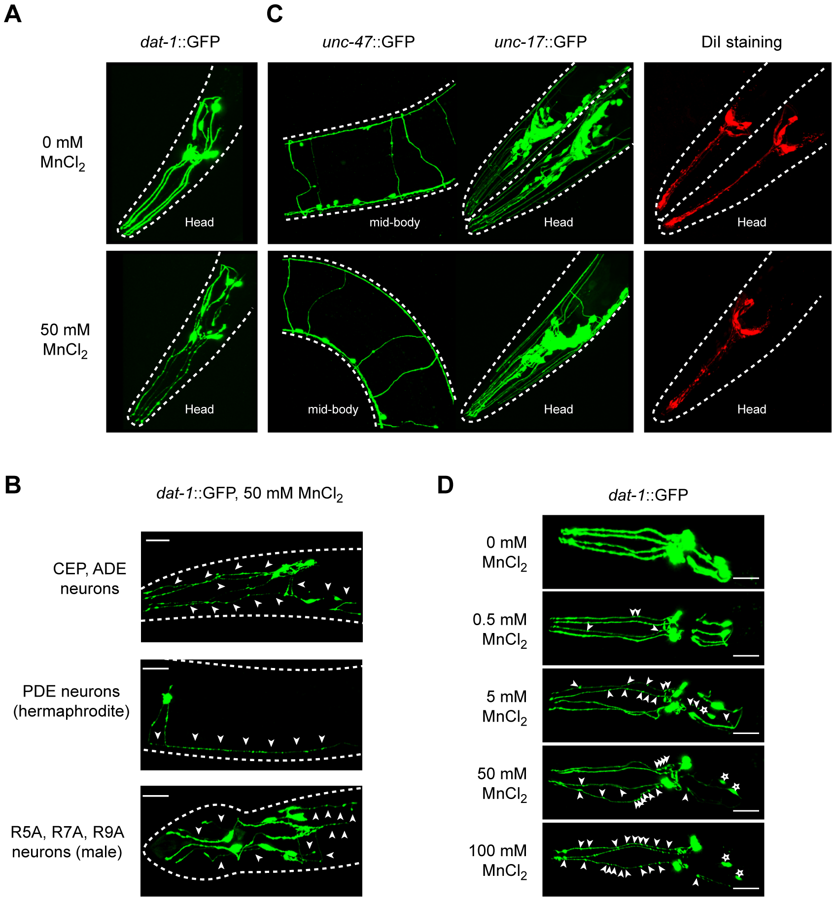 Dopaminergic neurons specifically degenerate in a dose-dependent manner upon Mn acute exposure.
