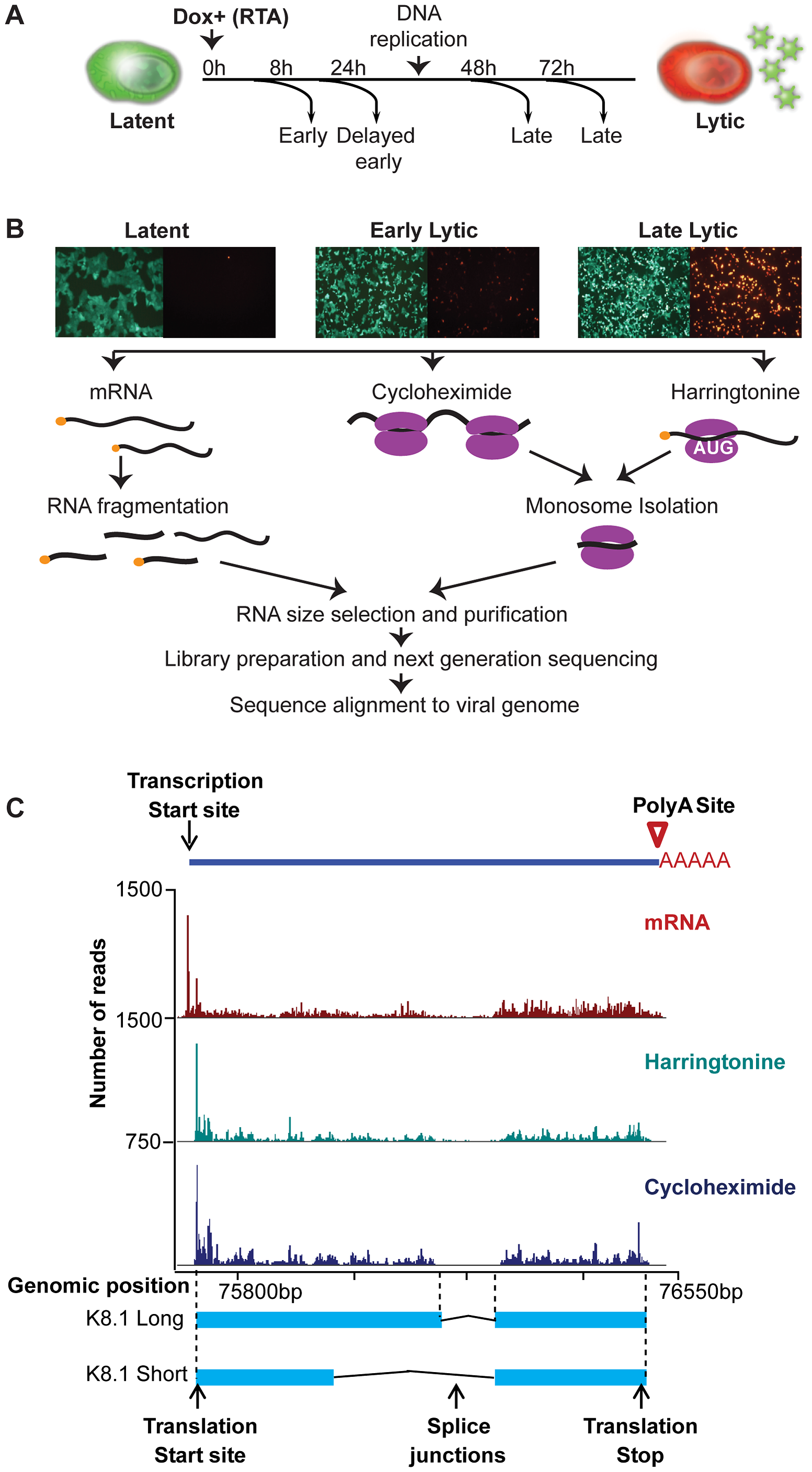 High-resolution mapping of KSHV genomic features.