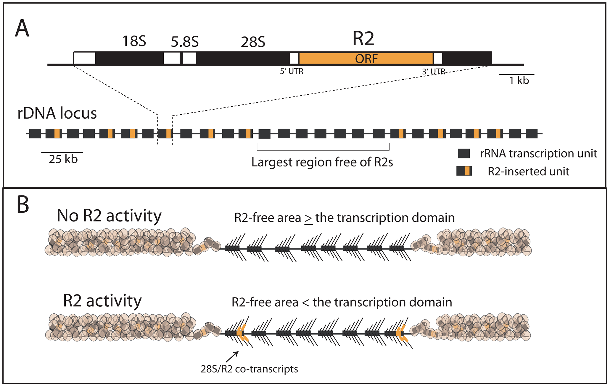 Diagram of the rDNA locus and how the distribution of R2 gives rise to R2-active and R2-inactive individuals.