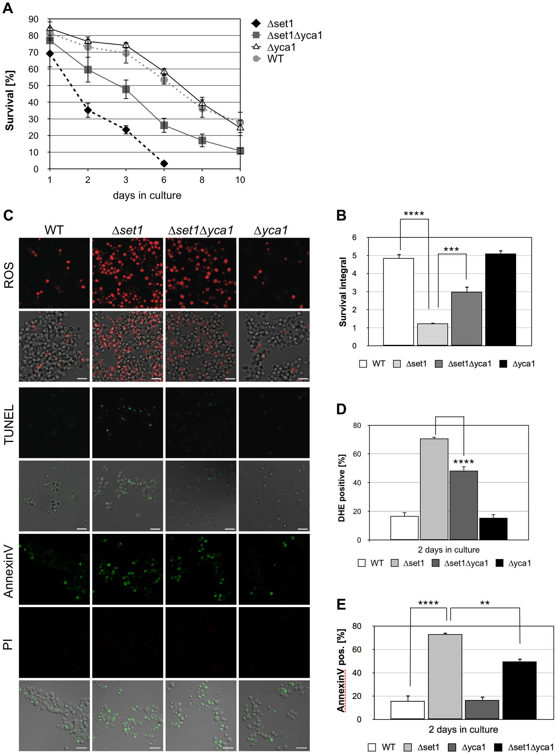 <i>SET1</i> disruption causes Yca1p-dependent cell death during chronological aging.