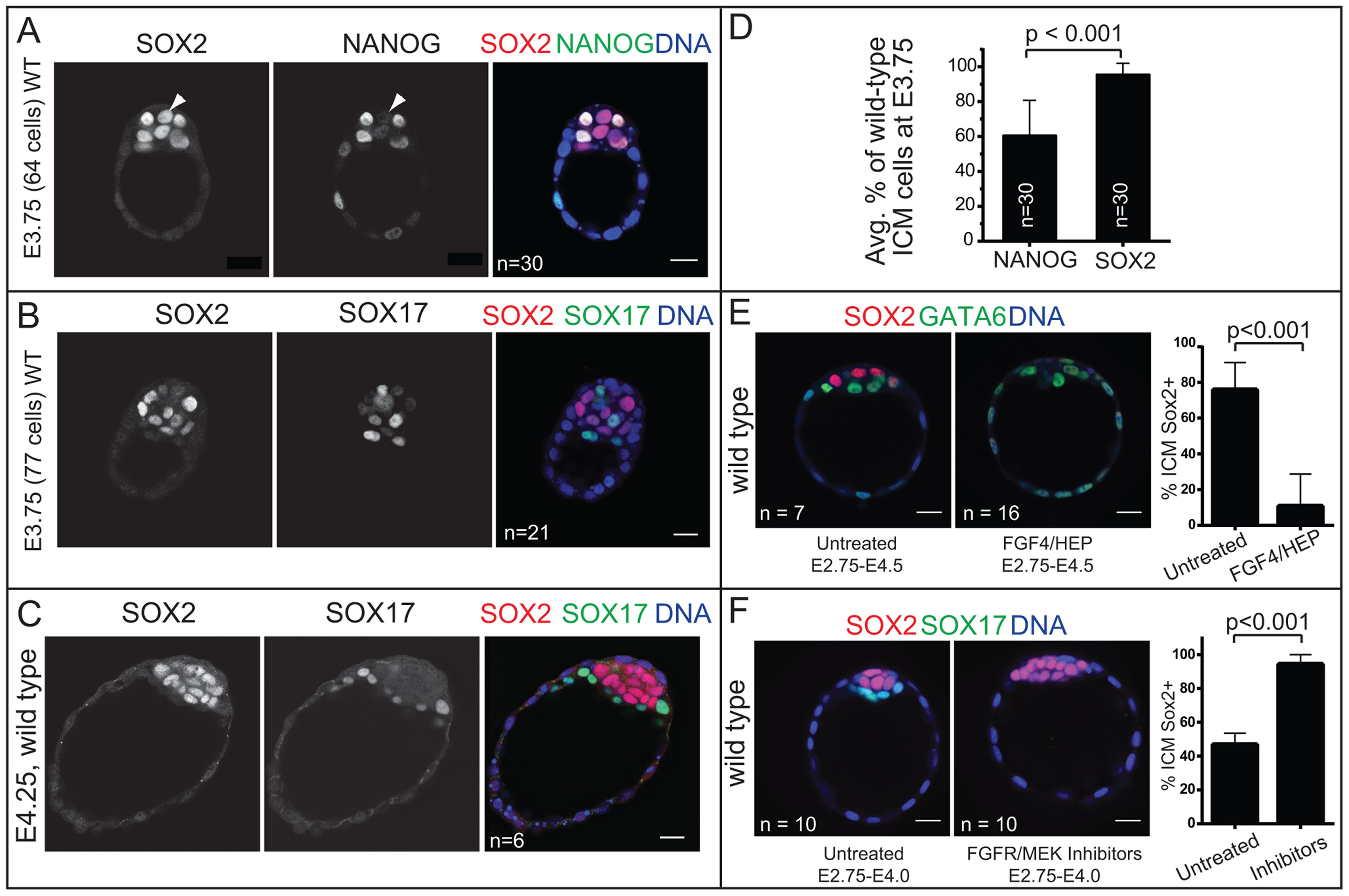 <i>Sox2</i> is restricted to EPI progenitors through an Fgf4/MEK-dependent mechanism.