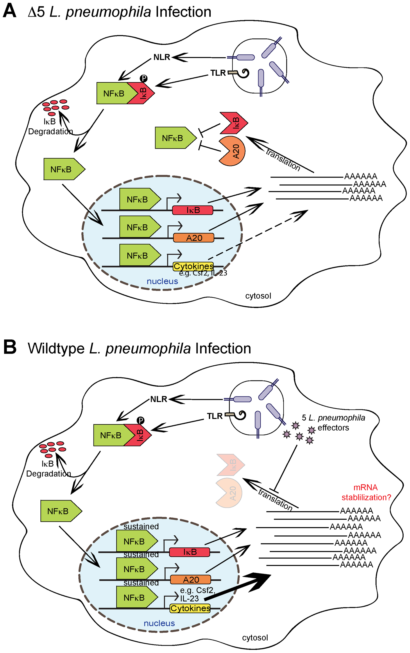 Model of NF-κB activation and superinduction by translation inhibitors.