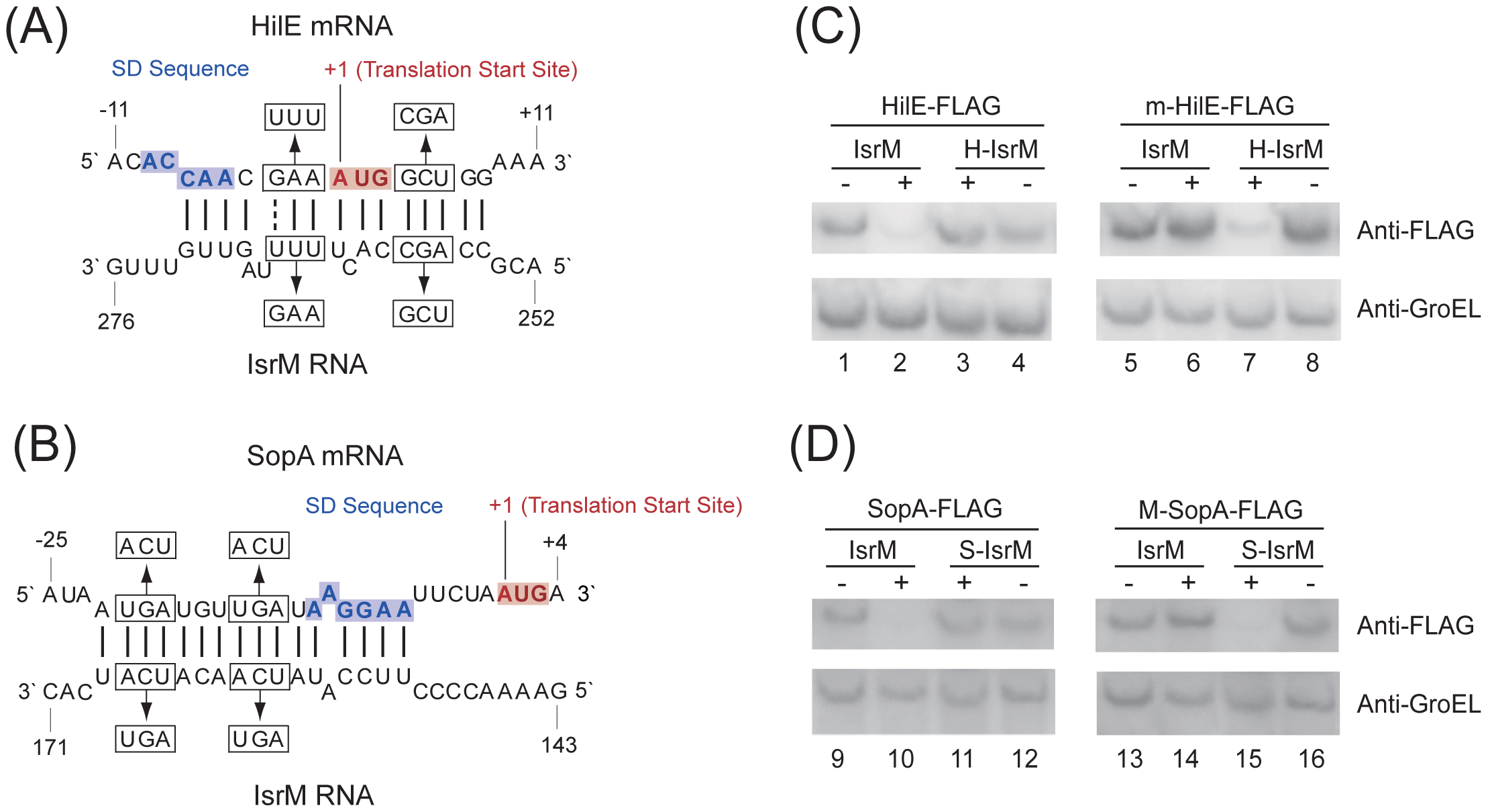 Post-transcriptional targeting of <i>hilE</i> and <i>sopA</i> by IsrM.