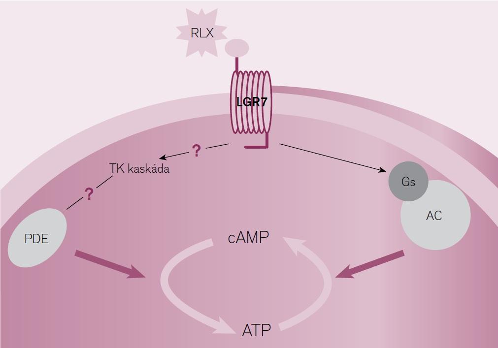 Schéma působení relaxinu [15]. RLX – relaxin, LGR7 – receptor pro relaxin/insulin-peptide 7, PDE – fosfodiestaráza, Gs – G-stimulující protein, AC – adenylcykláza, cAMP – cyklický adenosin-monofosfát, ATP – adenosin-trifosfát