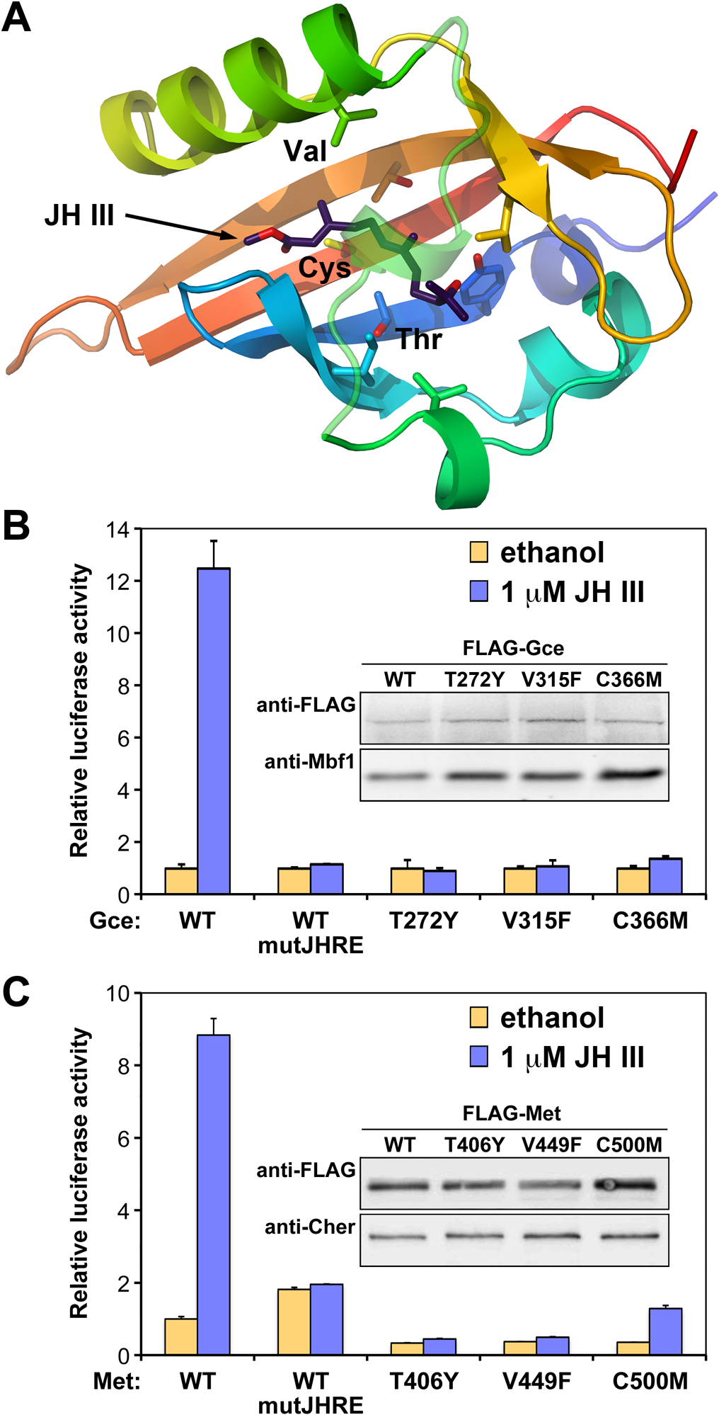 Gce and Met mutated in their JH-binding domains are incapable of activating transcription.