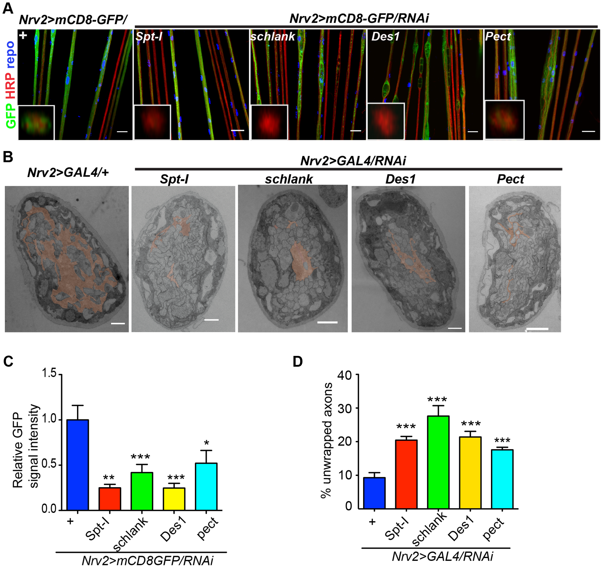 CerPE is very essential for axonal ensheathment by wrapping glia.
