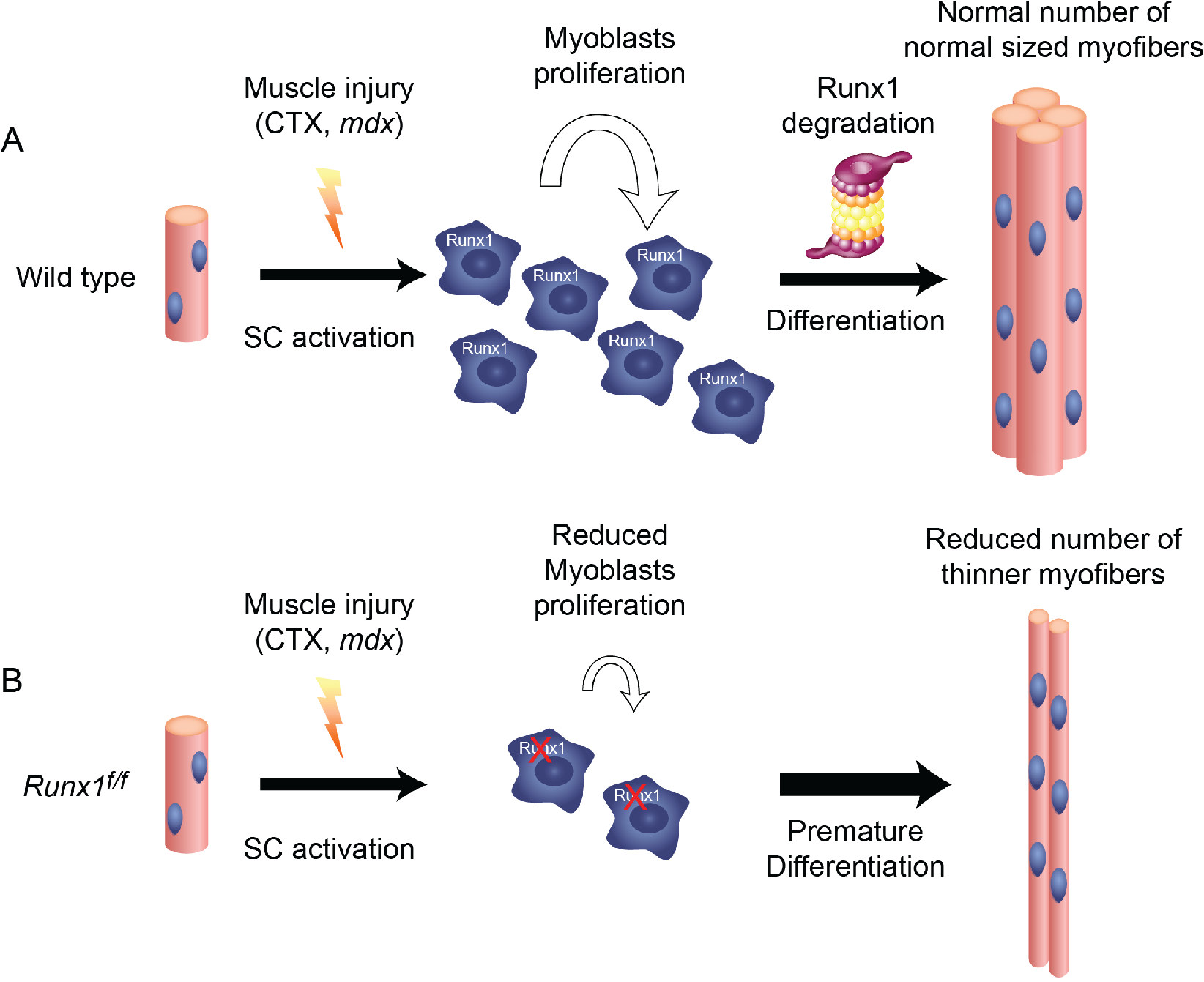 Runx1 is required for myoblast proliferation during muscle regeneration.