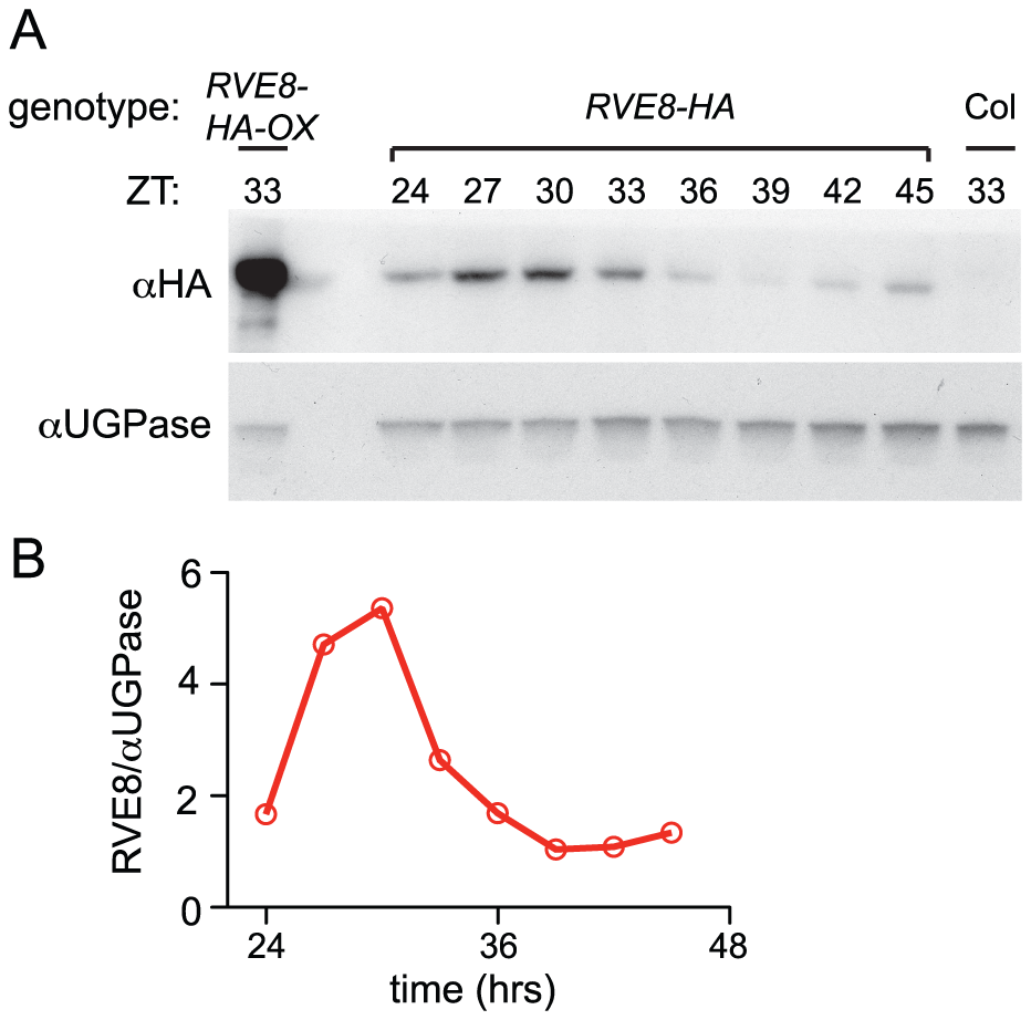 RVE8 protein accumulates in the subjective afternoon.
