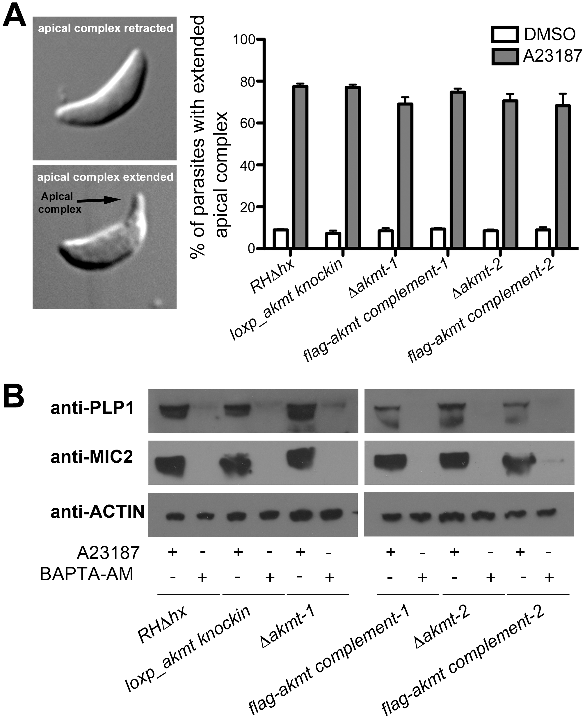 Ca<sup>2+</sup> influx induced apical complex extension and microneme secretion are not affected in extracellular <i>Δakmt</i> parasites.