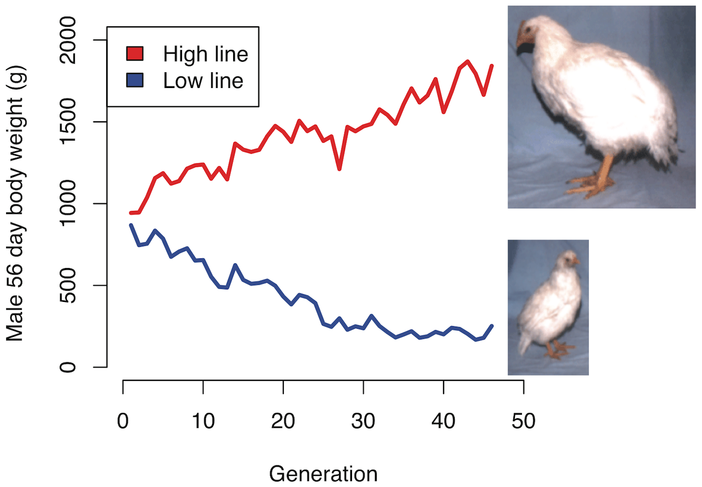 Selection response in the Virginia chicken lines.