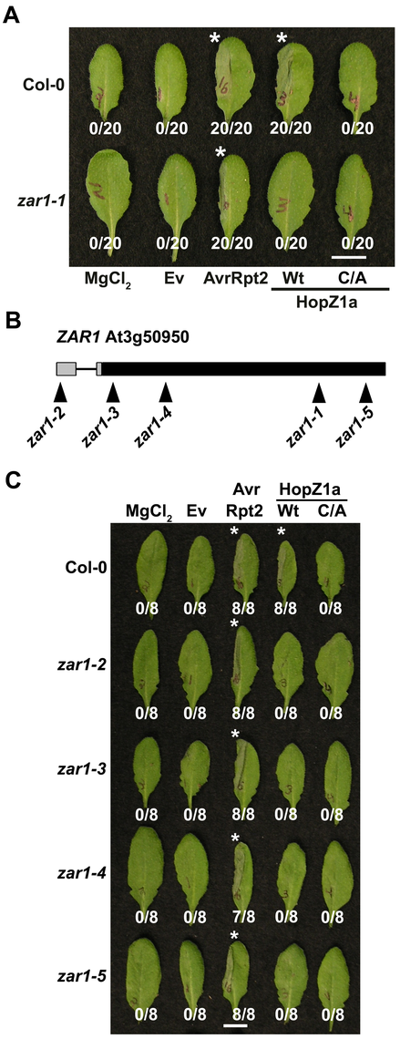 ZAR1 recognizes HopZ1a in <i>Arabidopsis</i>.