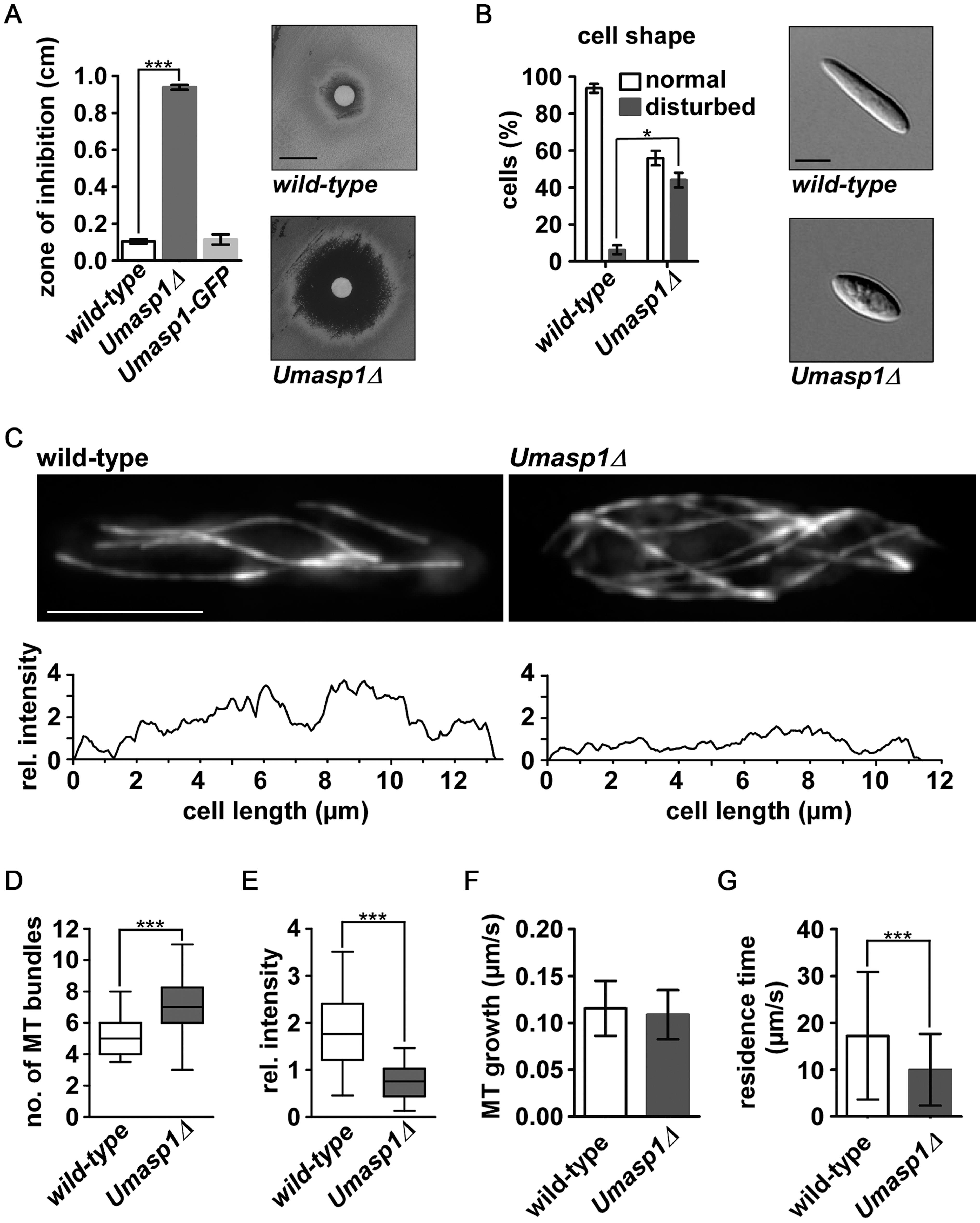 Loss of <i>Umasp1</i> causes aberrant morphology of and altered MT organization in <i>U. maydis</i> yeast cells.
