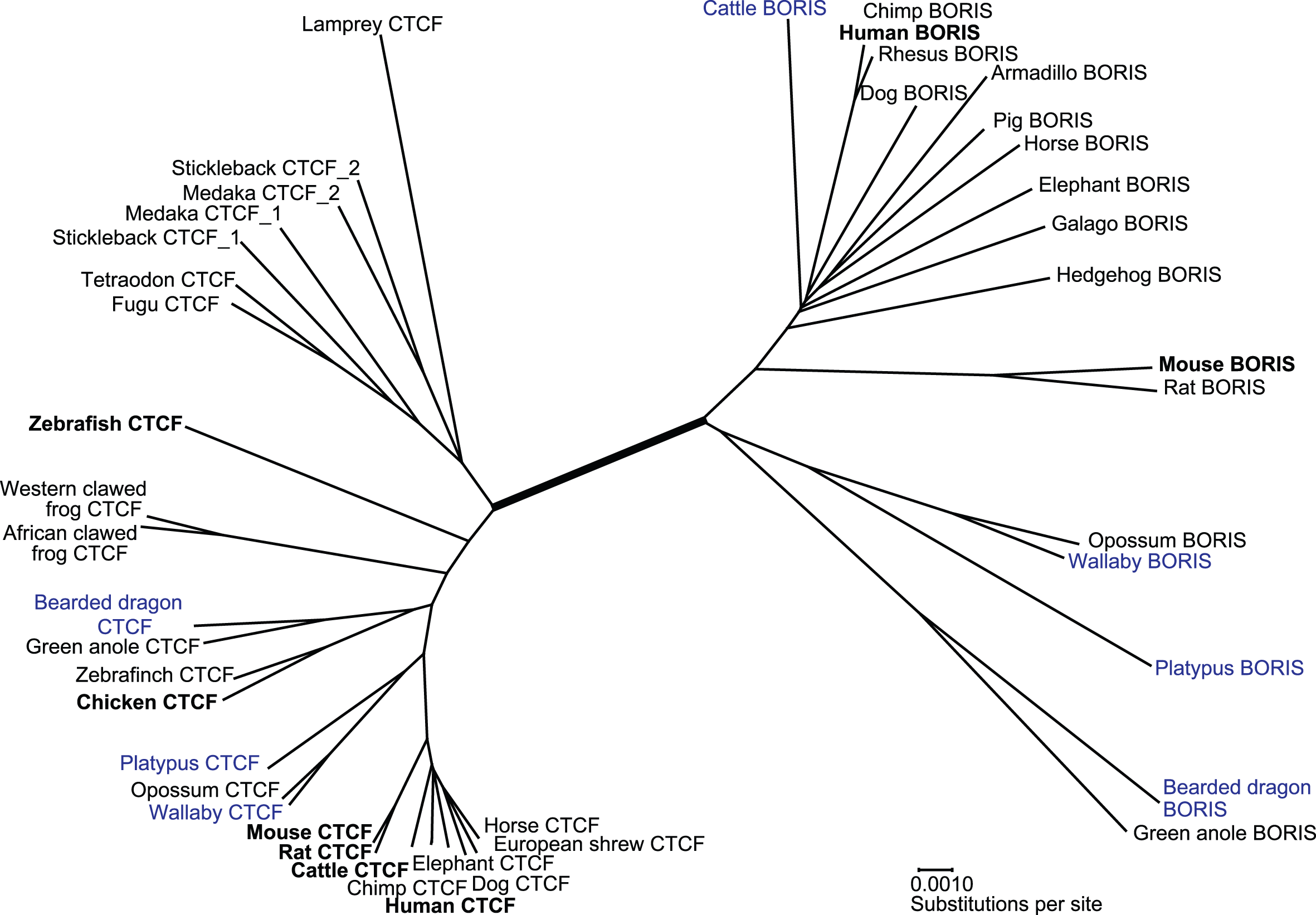 Neighbour-joining tree showing relationships between members of the <i>CTCF</i> and <i>BORIS</i> gene family.
