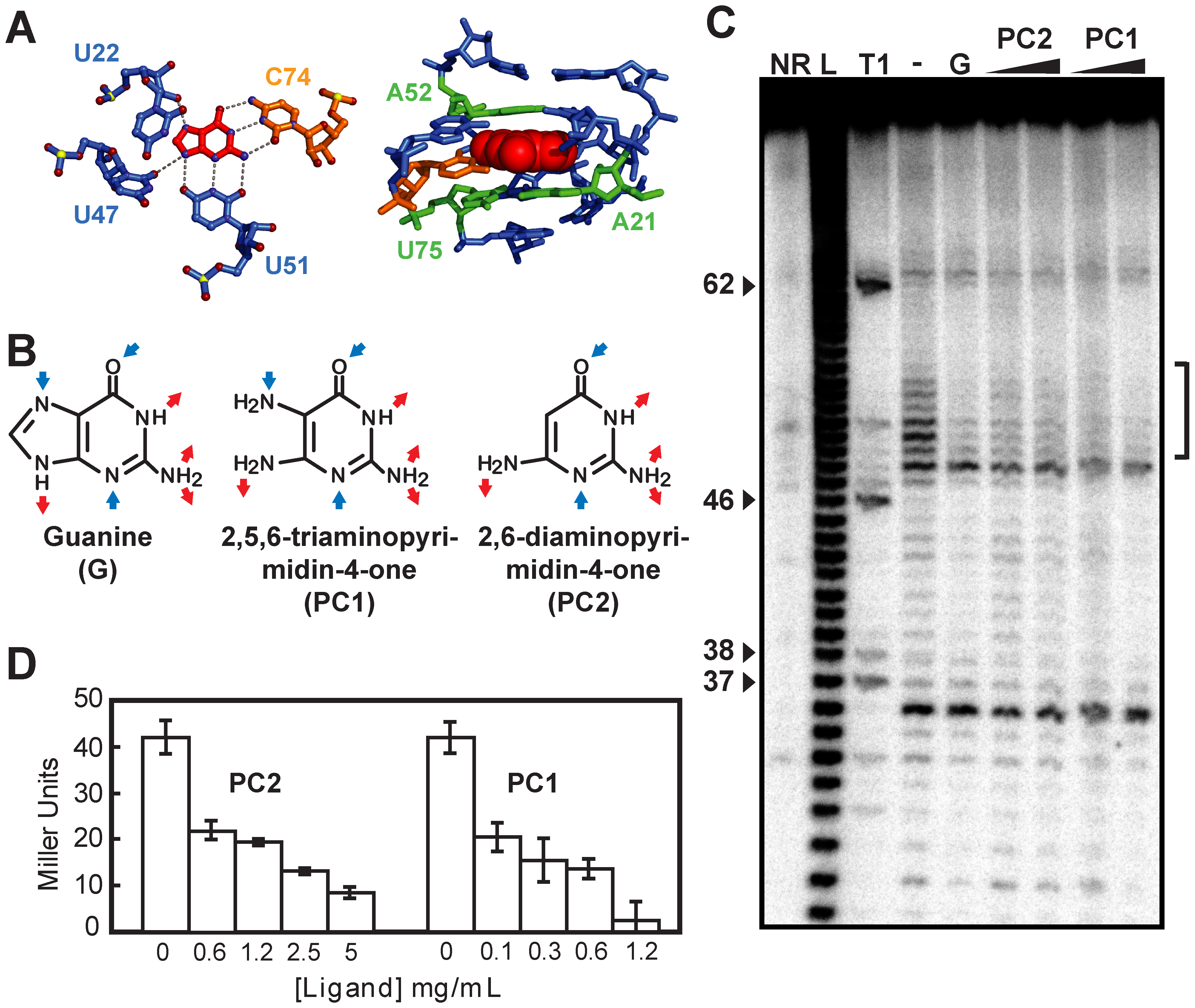 Guanine riboswitch agonists can be used to modulate gene expression.