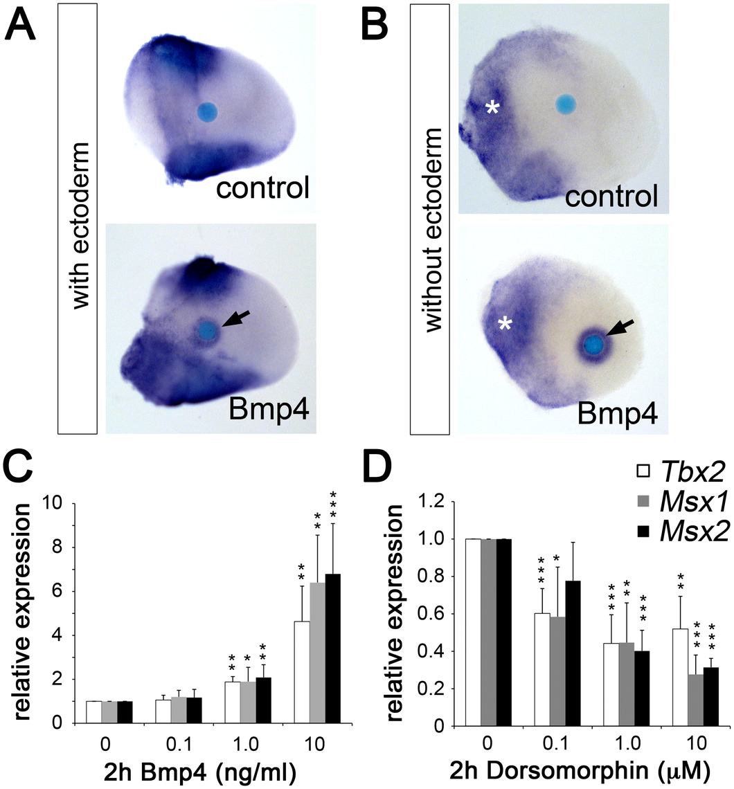Bmp signaling induces <i>Tbx2</i> expression in the limb bud mesenchyme.