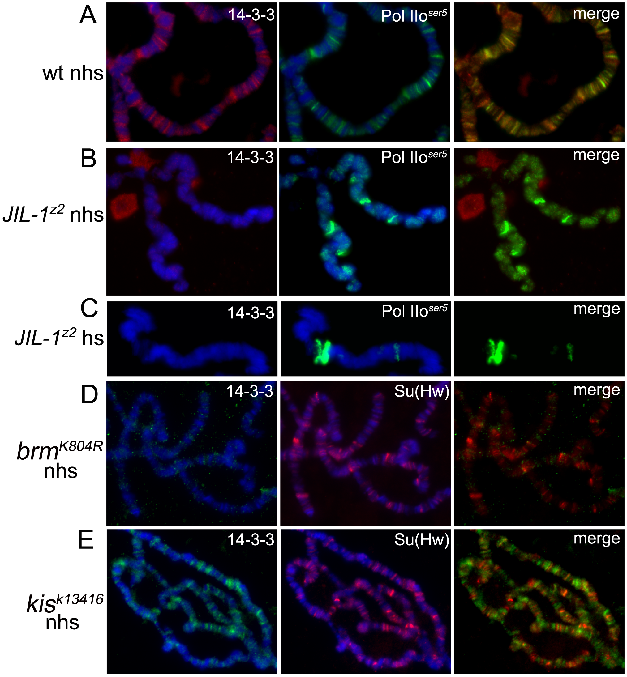Binding of 14-3-3 to polytene chromosomes is dependent on phosphorylation of H3S10 by JIL-1.