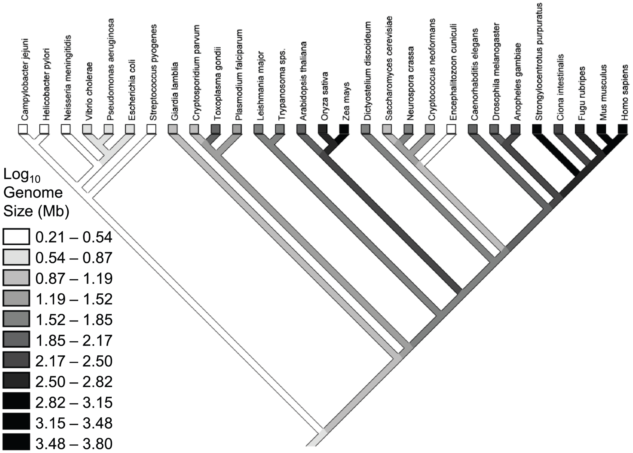Phylogeny for the species in the Lynch &amp; Conery dataset <em class=&quot;ref&quot;>[<b>7</b>]</em>, with a reconstruction of genome sizes.