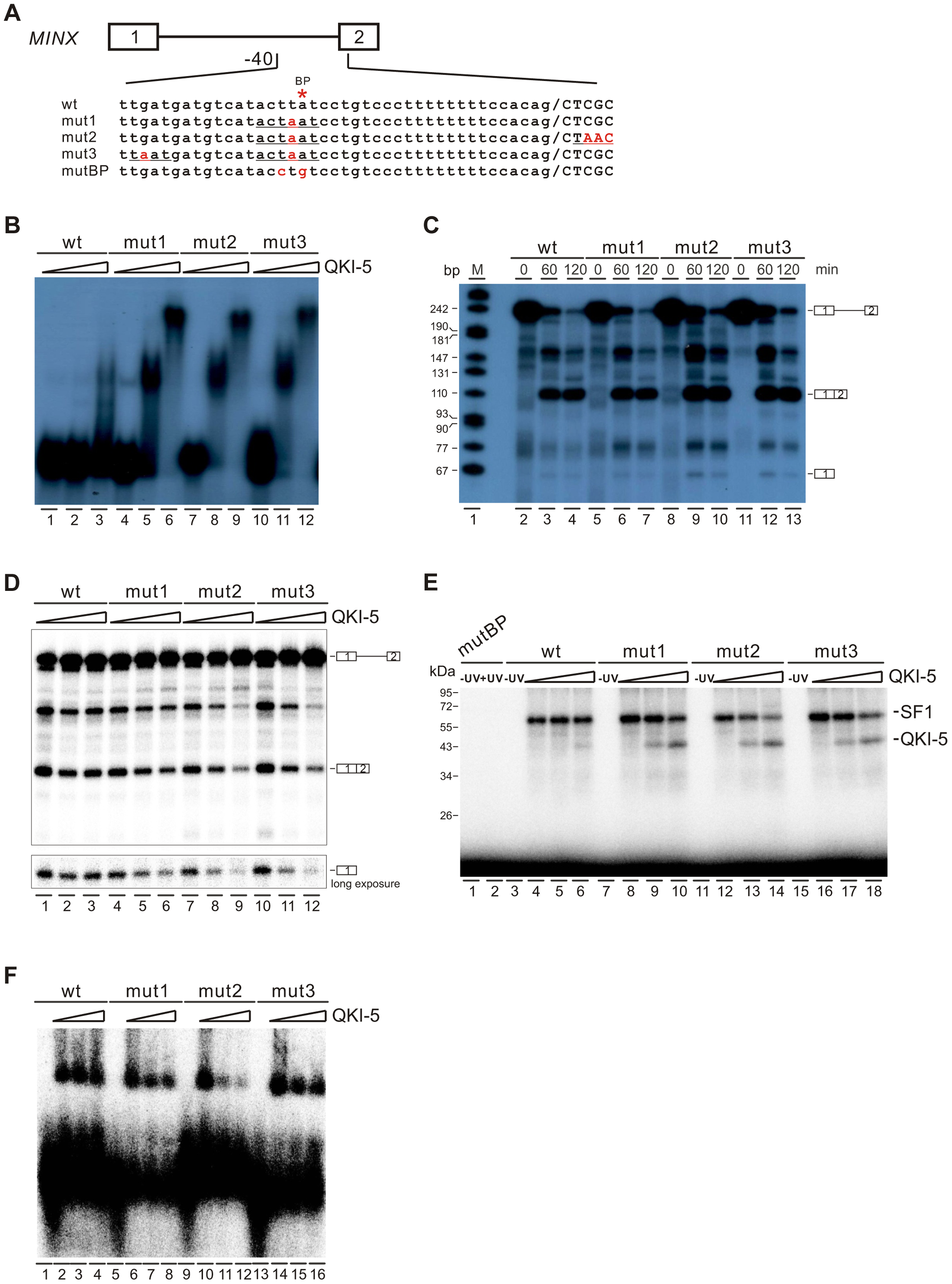 QKI-5 represses splicing by selectively competing with SF1.