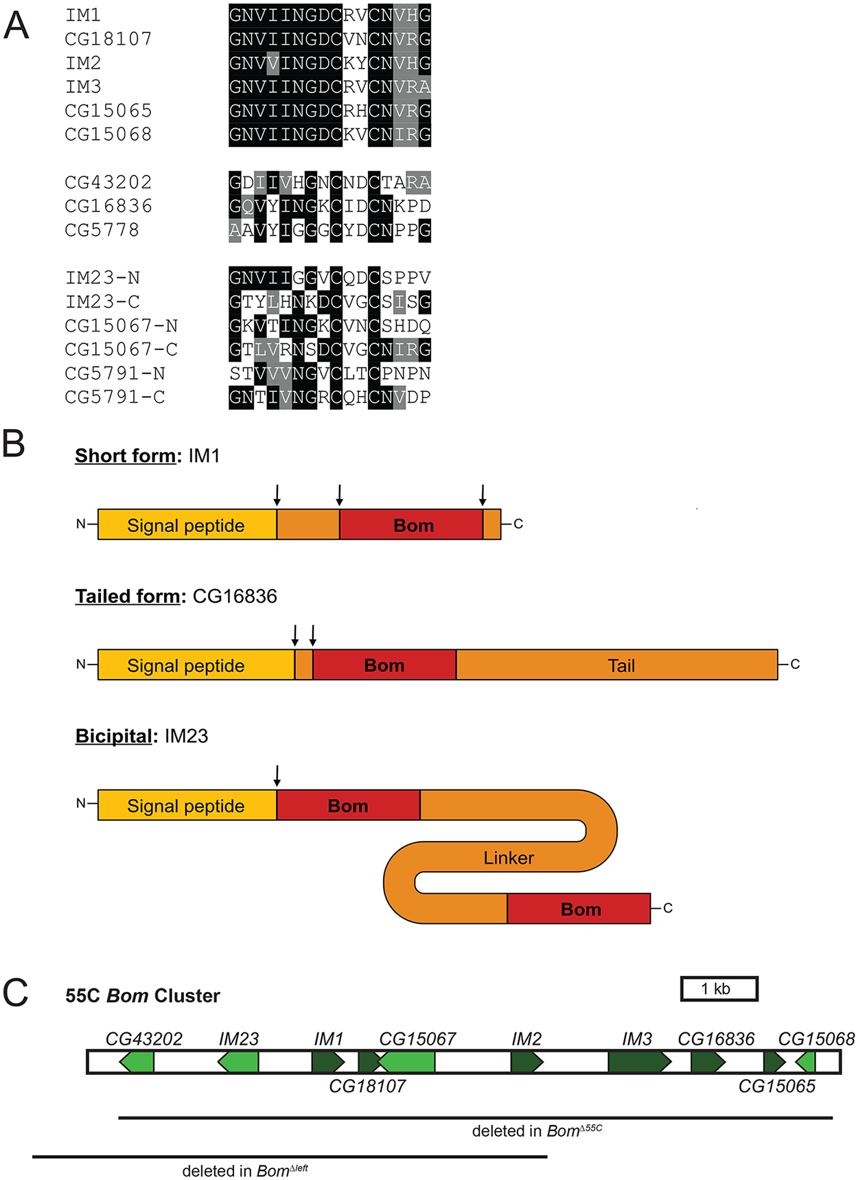 <i>Bom</i> genes share a conserved 16-aa motif.