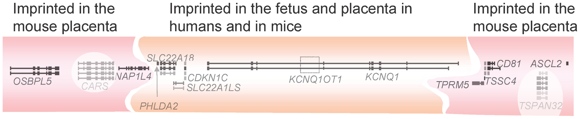 The <i>KCNQ1/Kcnq1</i> imprinted gene cluster.
