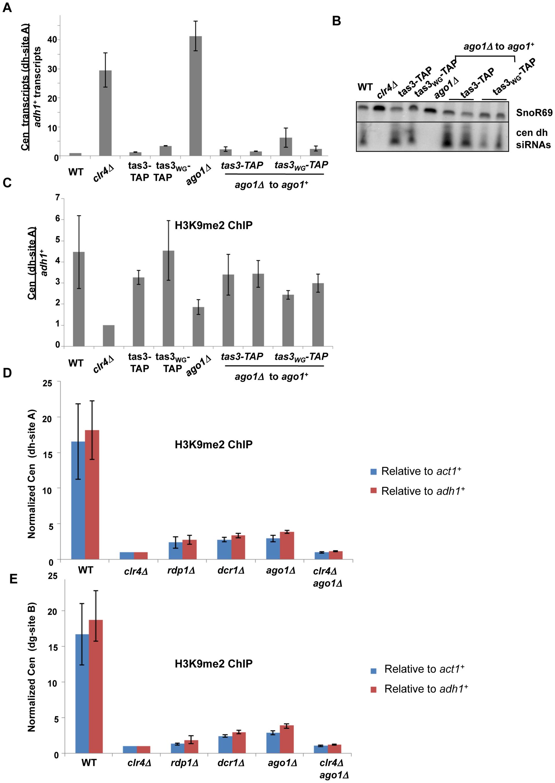 Ago1 reintegration into <i>tas3<sub>WG</sub></i> cells promotes heterochromatin assembly, and <i>ago1</i> null cells retain significant centromeric H3K9me2.