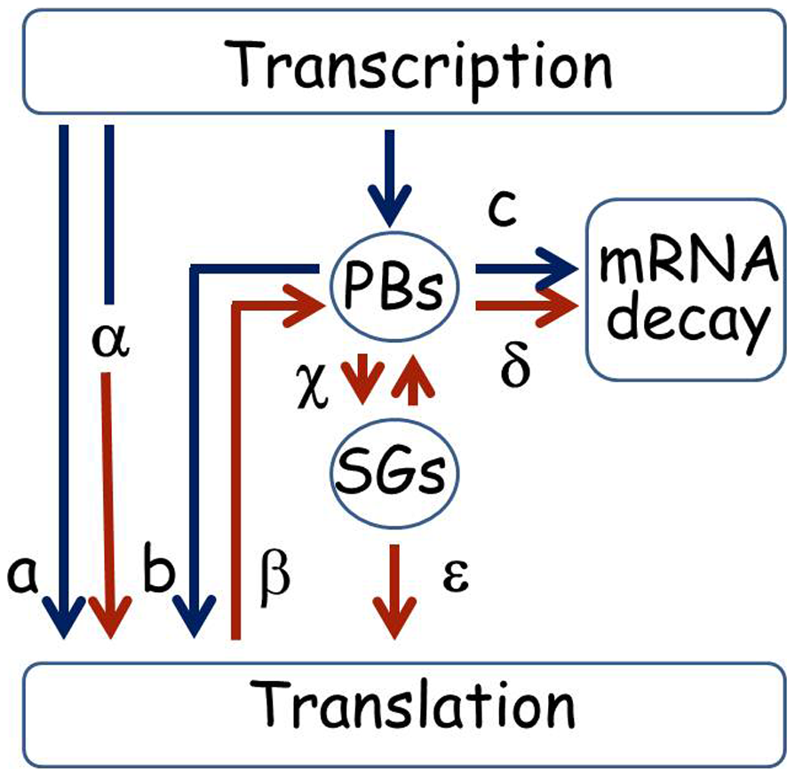 Pathways for mRNA under normal and stress conditions.