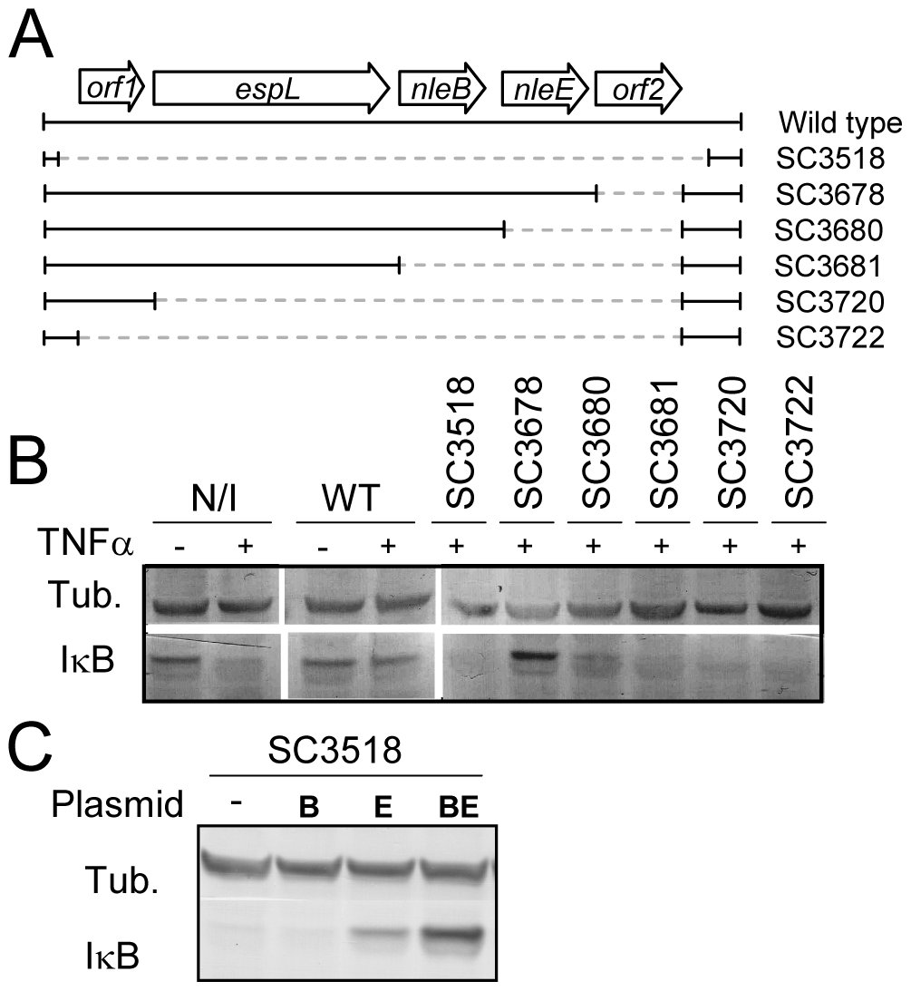 NleE is required for EPEC inhibition of TNFα-induced IκB degradation.