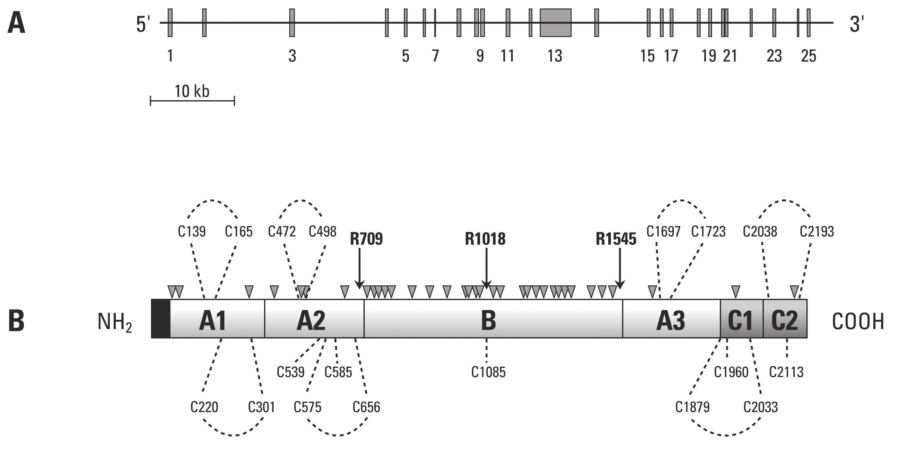 Schematické znázornění struktury F V (převzato z práce Segers K., Dahlbäck B, Nicolaes G. Coagulation factor V and thrombophilia: Background and mechanisms).