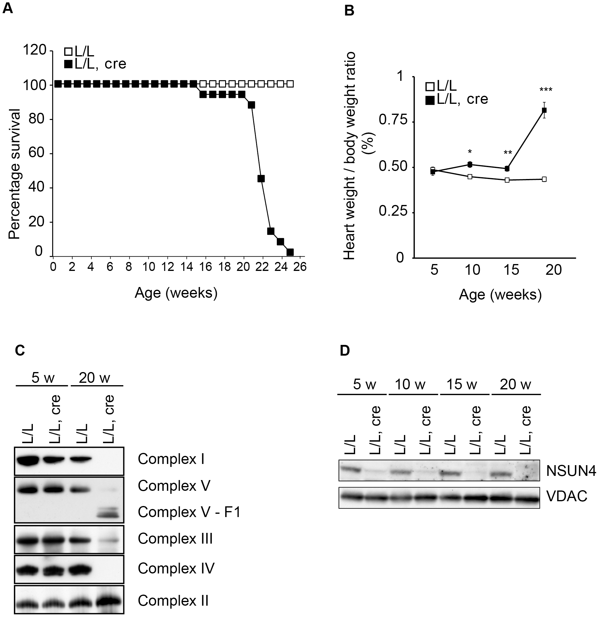 Conditional inactivation of the <i>Nsun4</i> gene in heart and skeletal muscle.