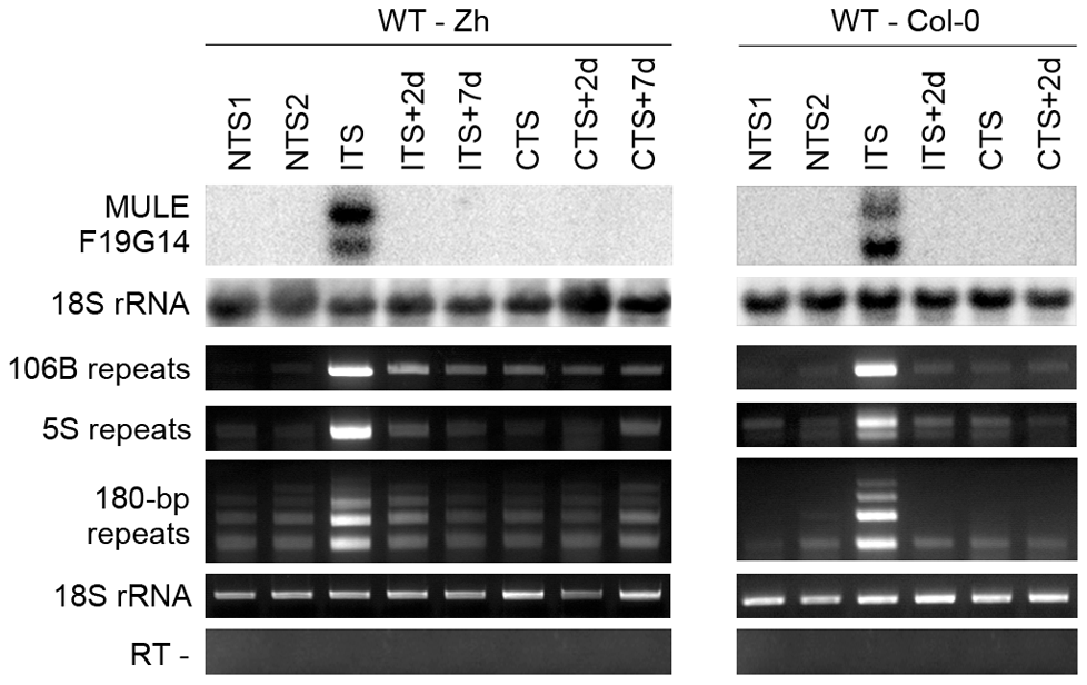 Temperature shift induces transient transcriptional activation of endogenous silent loci.