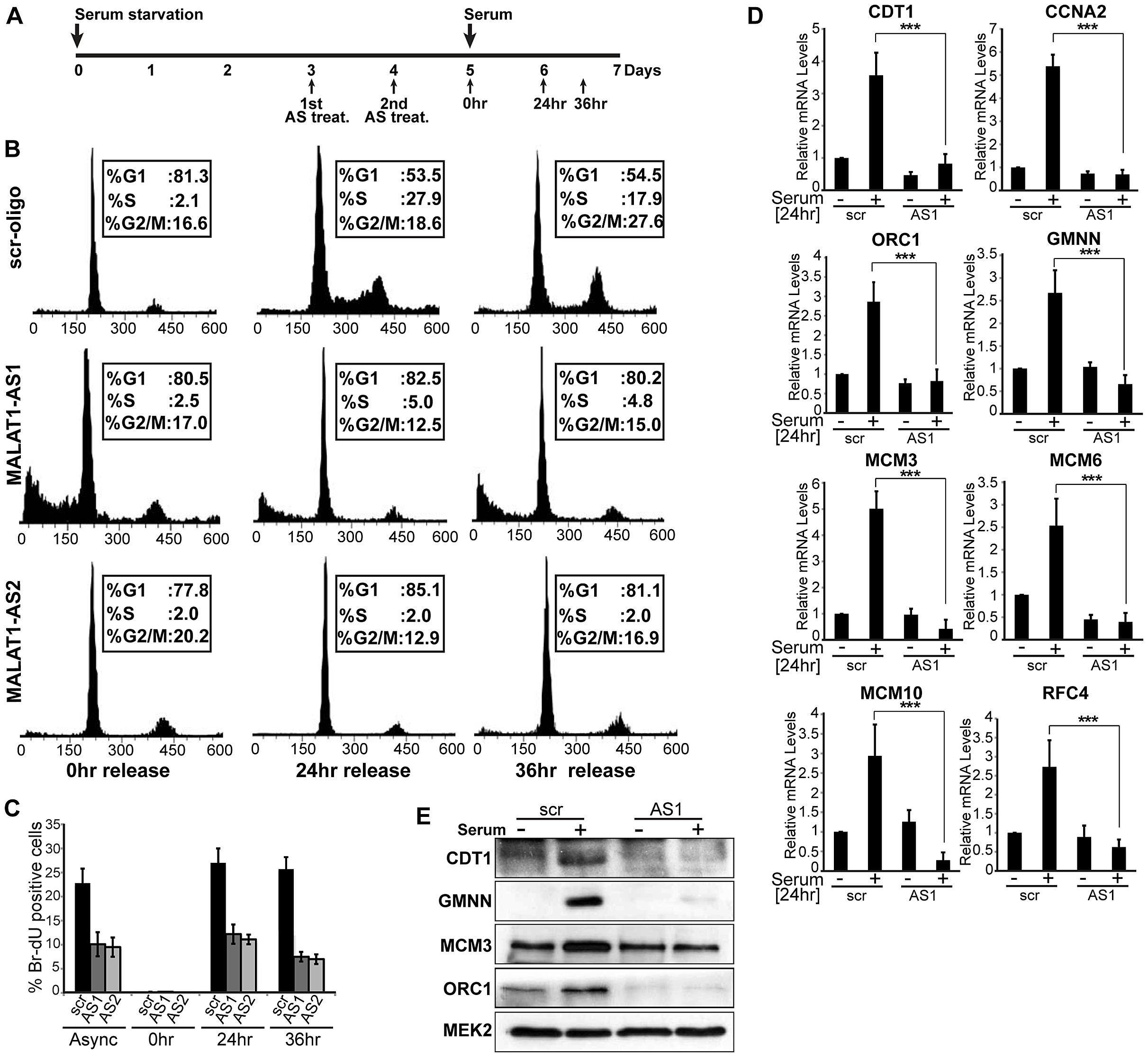 MALAT1-depleted HDFs show defects in G1 to S transition.