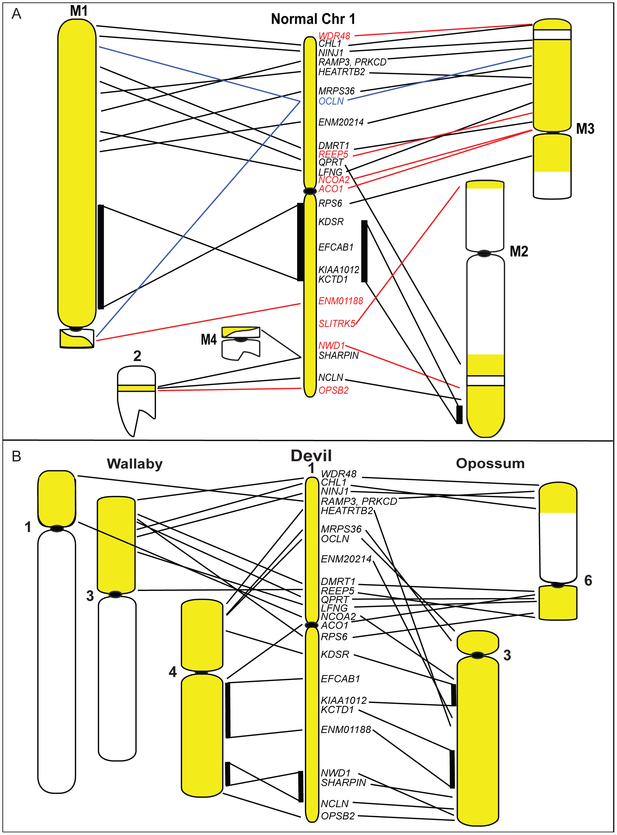 Chromosome 1 rearrangements in DFTD and during marsupial evolution.
