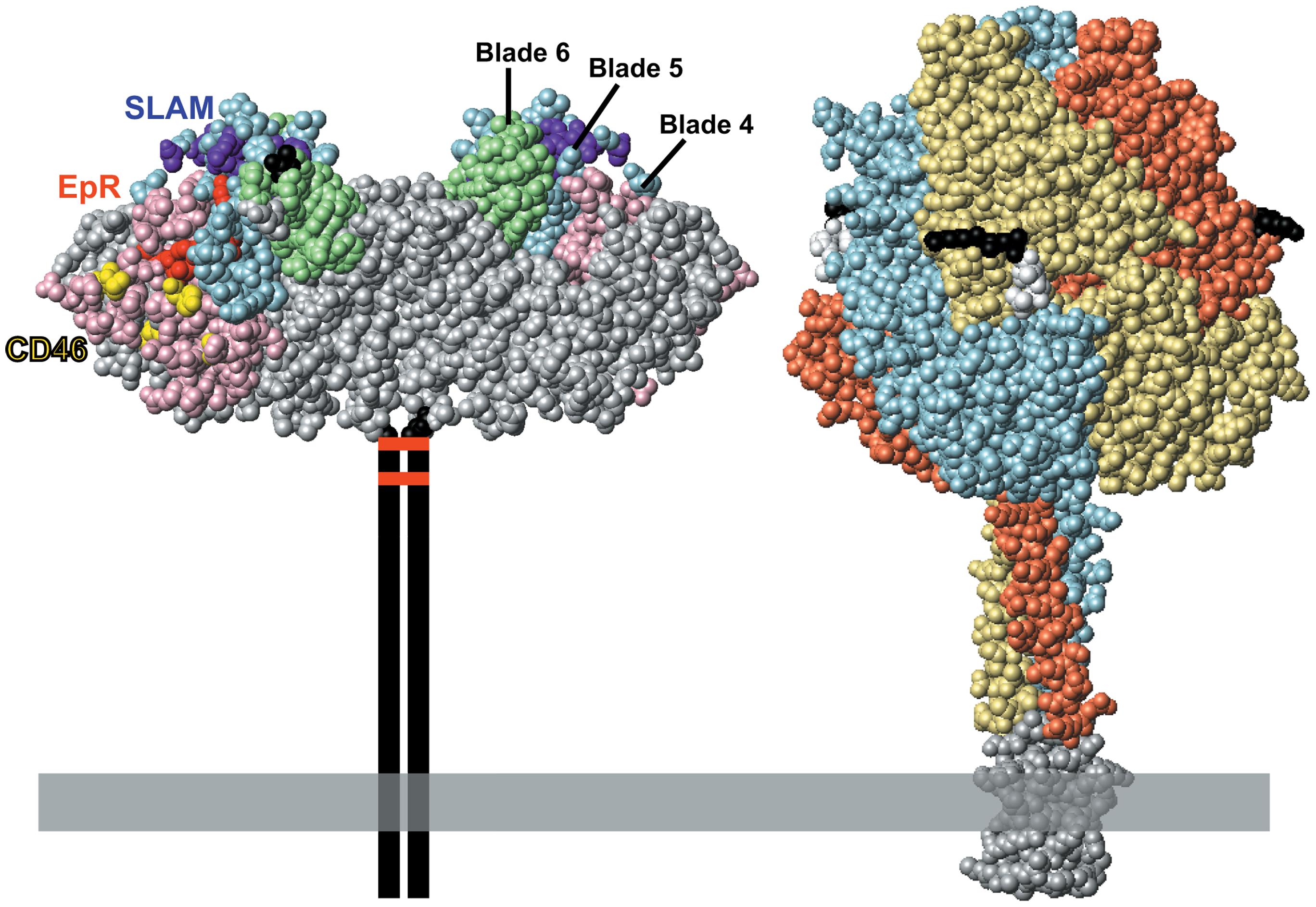 The paramyxovirus envelope glycoproteins.