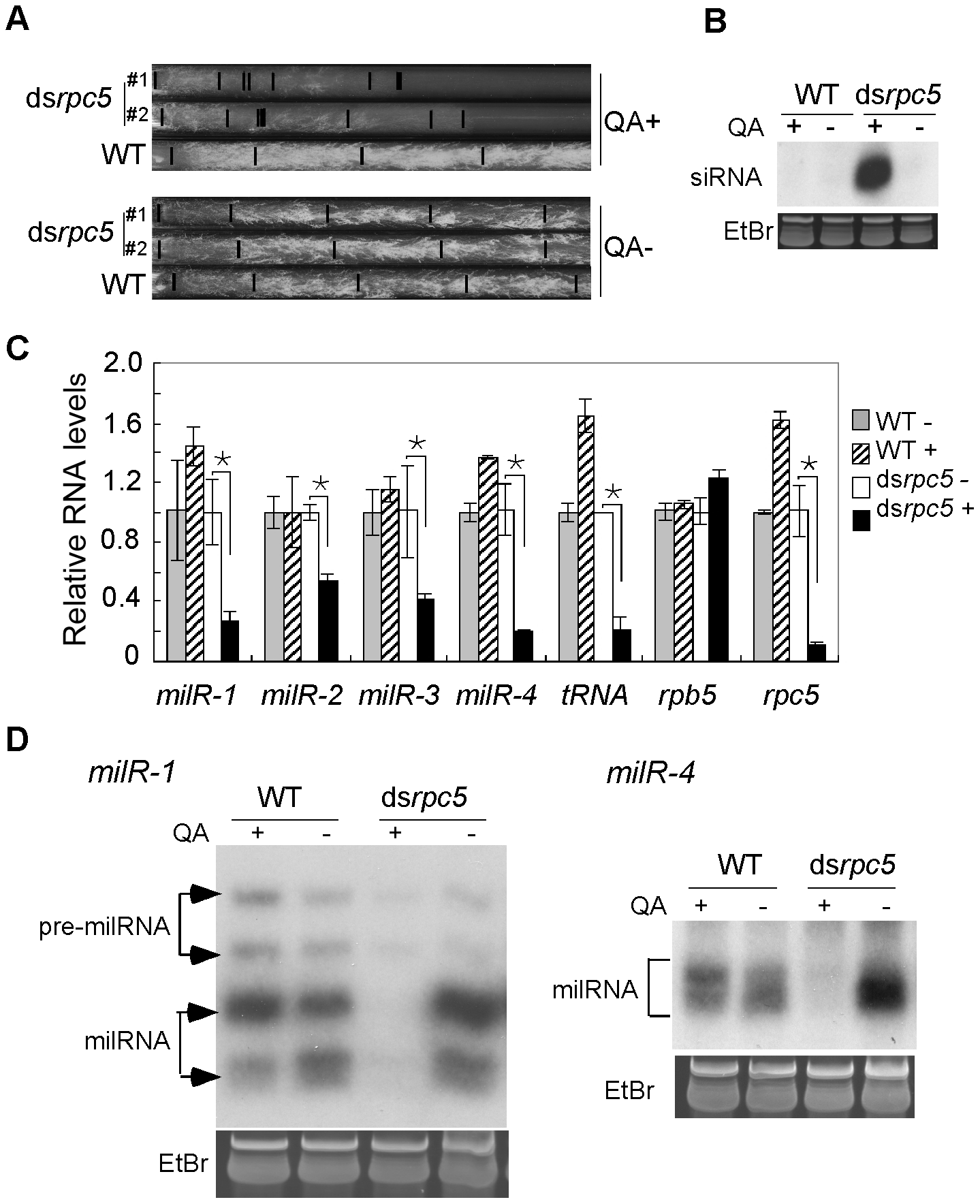 Pol III knockdown results in the reduction of milRNA expression.
