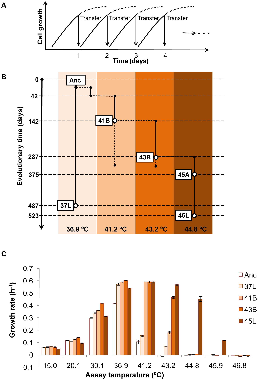 Thermal adaptive evolution.