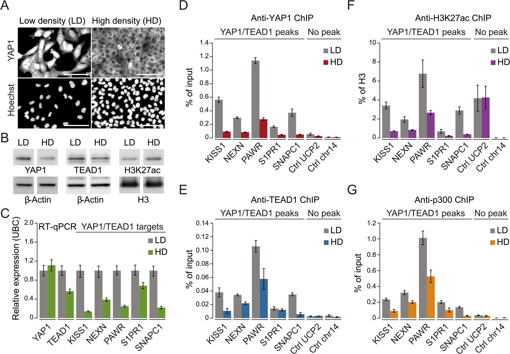 YAP1 mediates active enhancer chromatin and expression of target genes.
