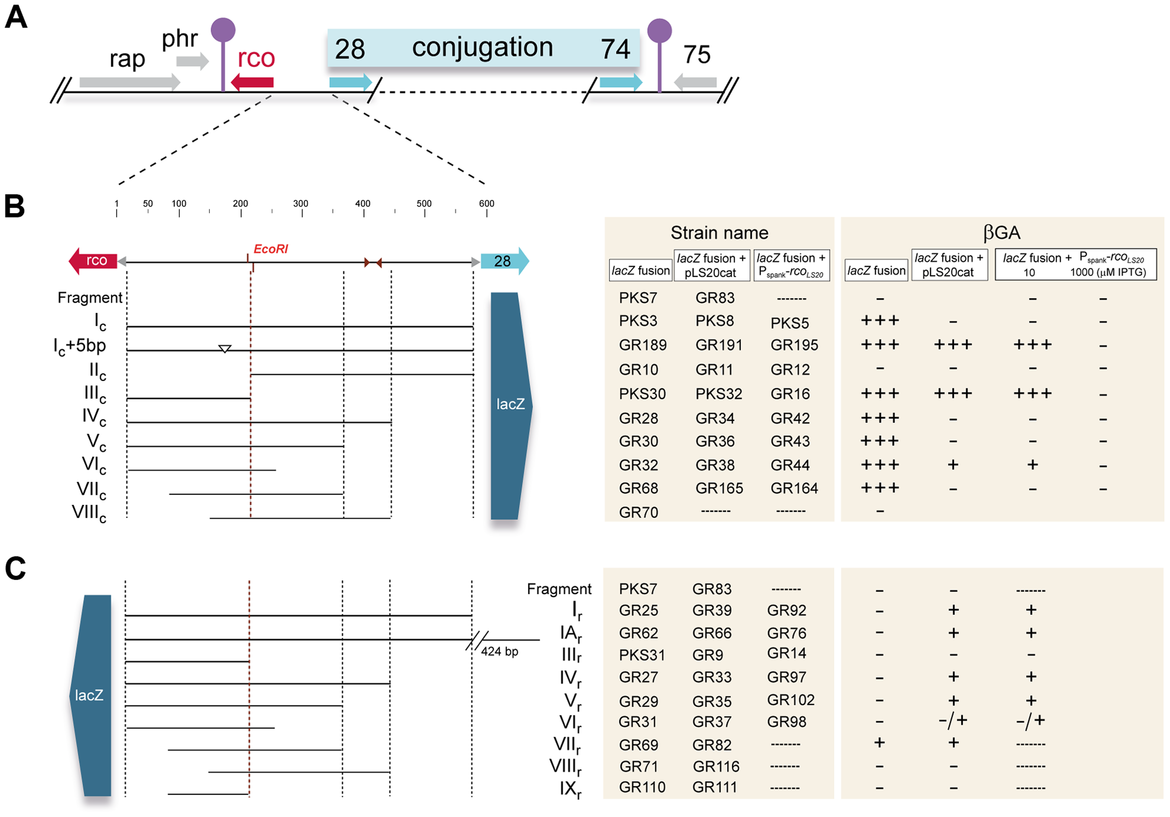 Genetic map of the pLS20cat conjugation region and summary of the transcriptional <i>lacZ</i> fusions used in this study.