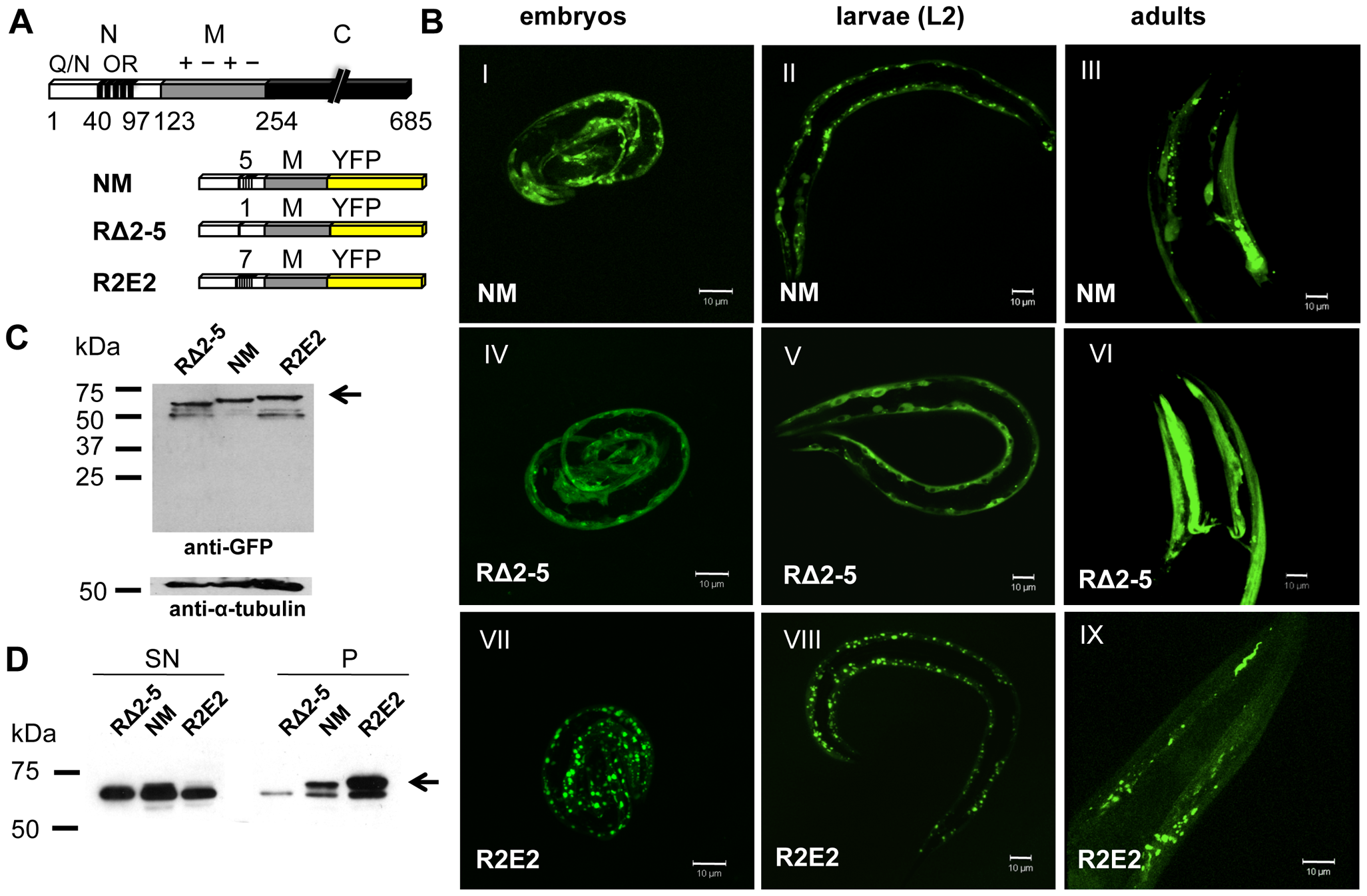 Sup35 prion domain aggregation is oligorepeat length–dependent.