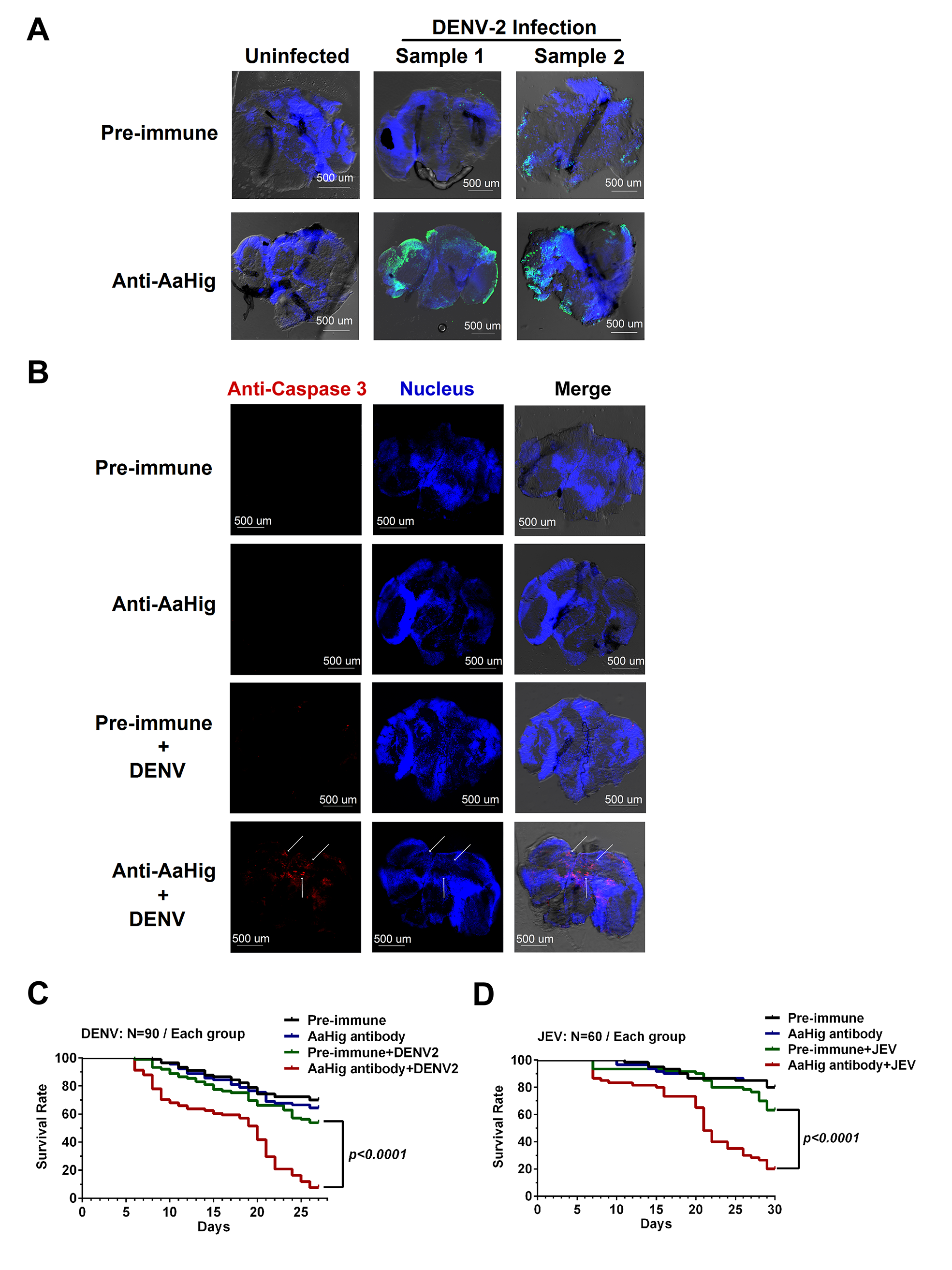Blockade of AaHig resulted in apoptosis of neural cells and reduction of mosquito lifespan in DENV and JEV infections.