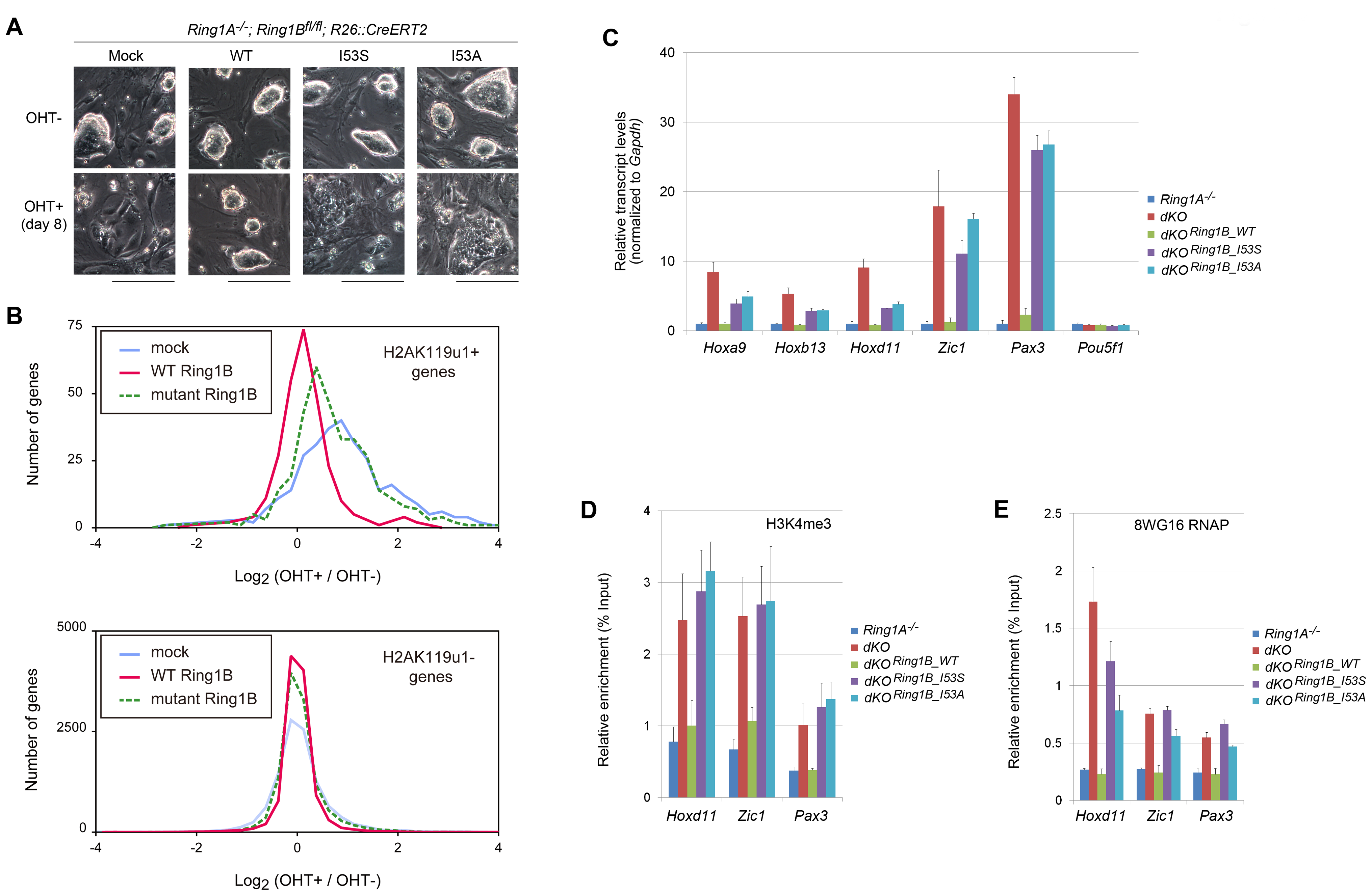 H2A ubiquitination activity of Ring1B is essential for the maintenance of ESC identity and repression of target gene expression.