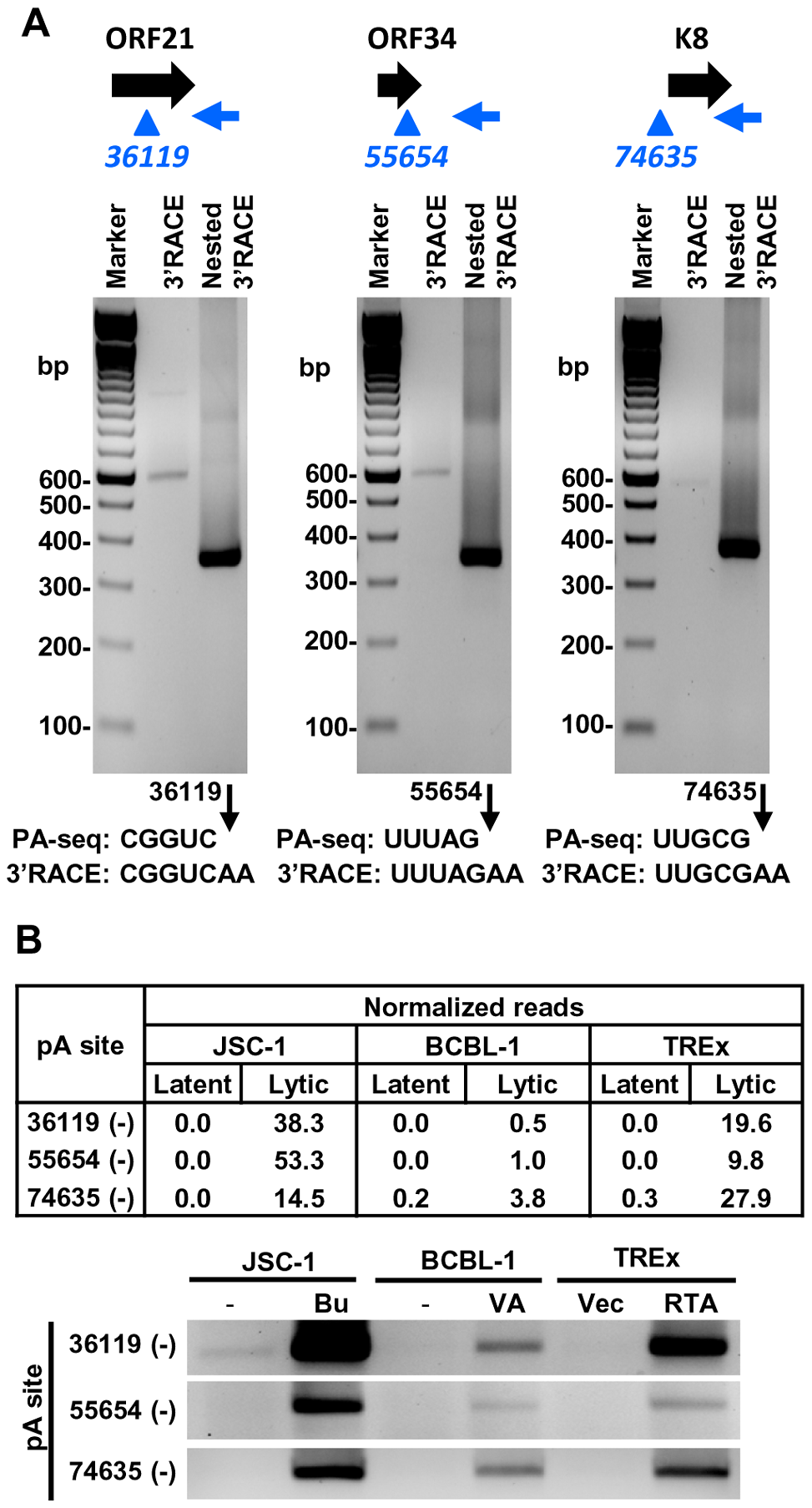 Validation of PA-seq-identified antisense RNAs to ORF21, ORF34, and ORF K8 by 3′ RACE.
