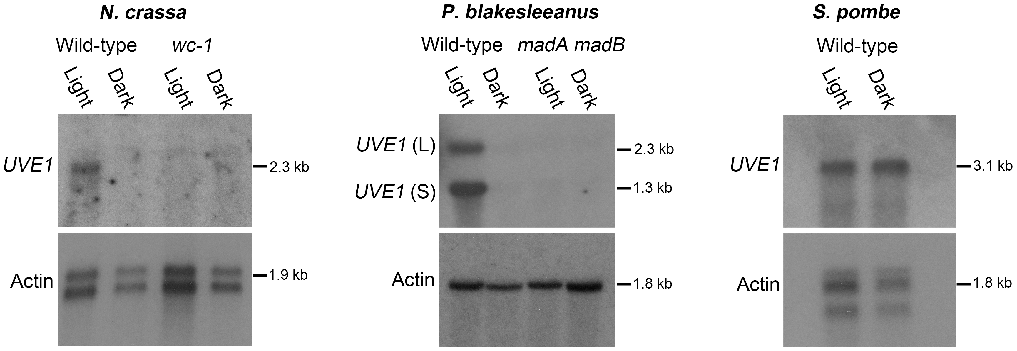 Light regulation of <i>UVE1</i> homologs through the White Collar complex is conserved in fungi.