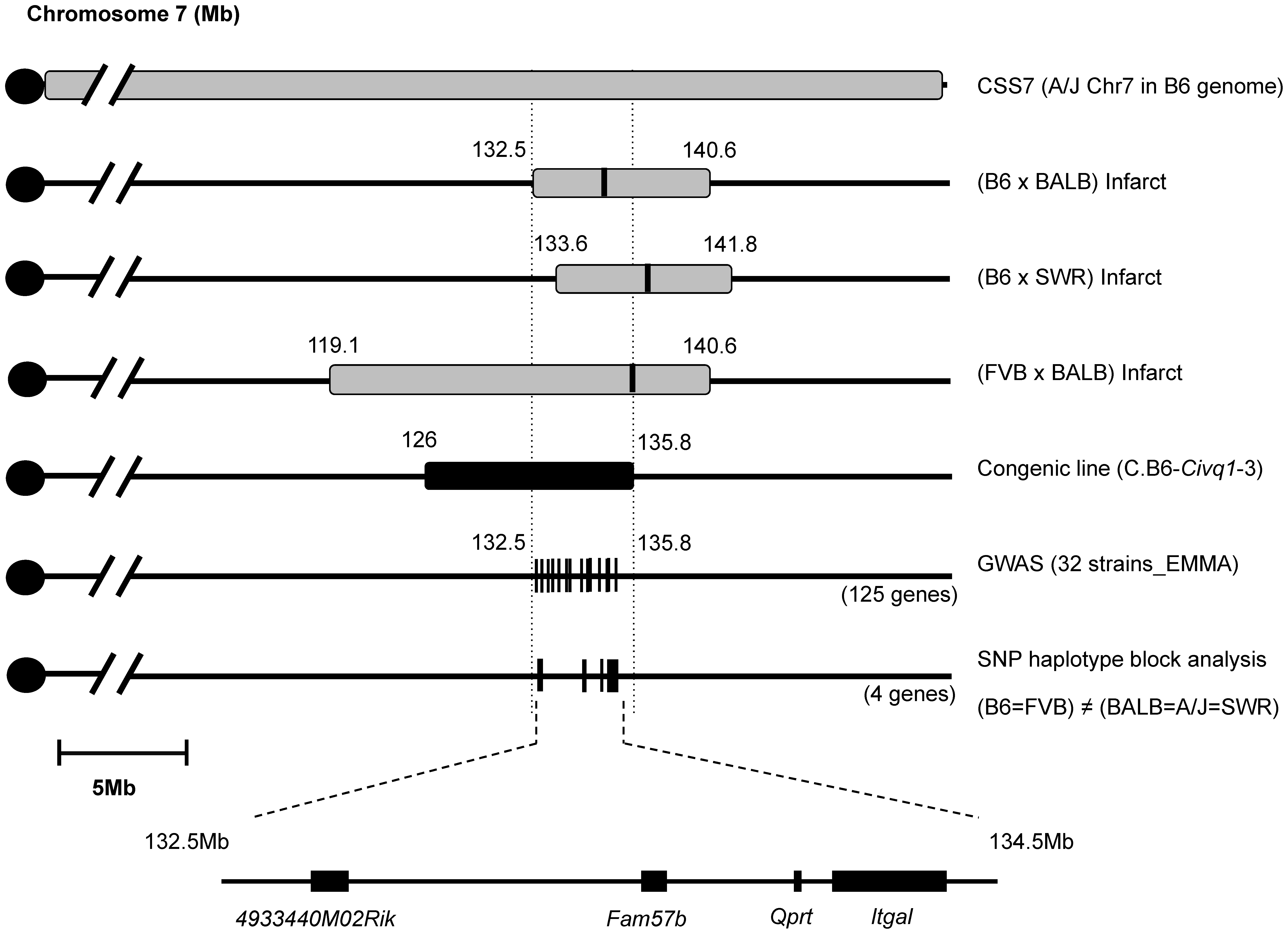 Fine mapping of <i>Civq1</i> harboring a causative candidate gene for infarct volume.