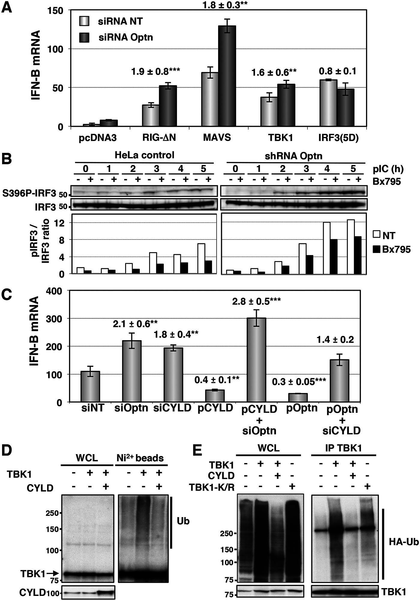Optn inhibitory effect requires CYLD and targets TBK1 ubiquitination.