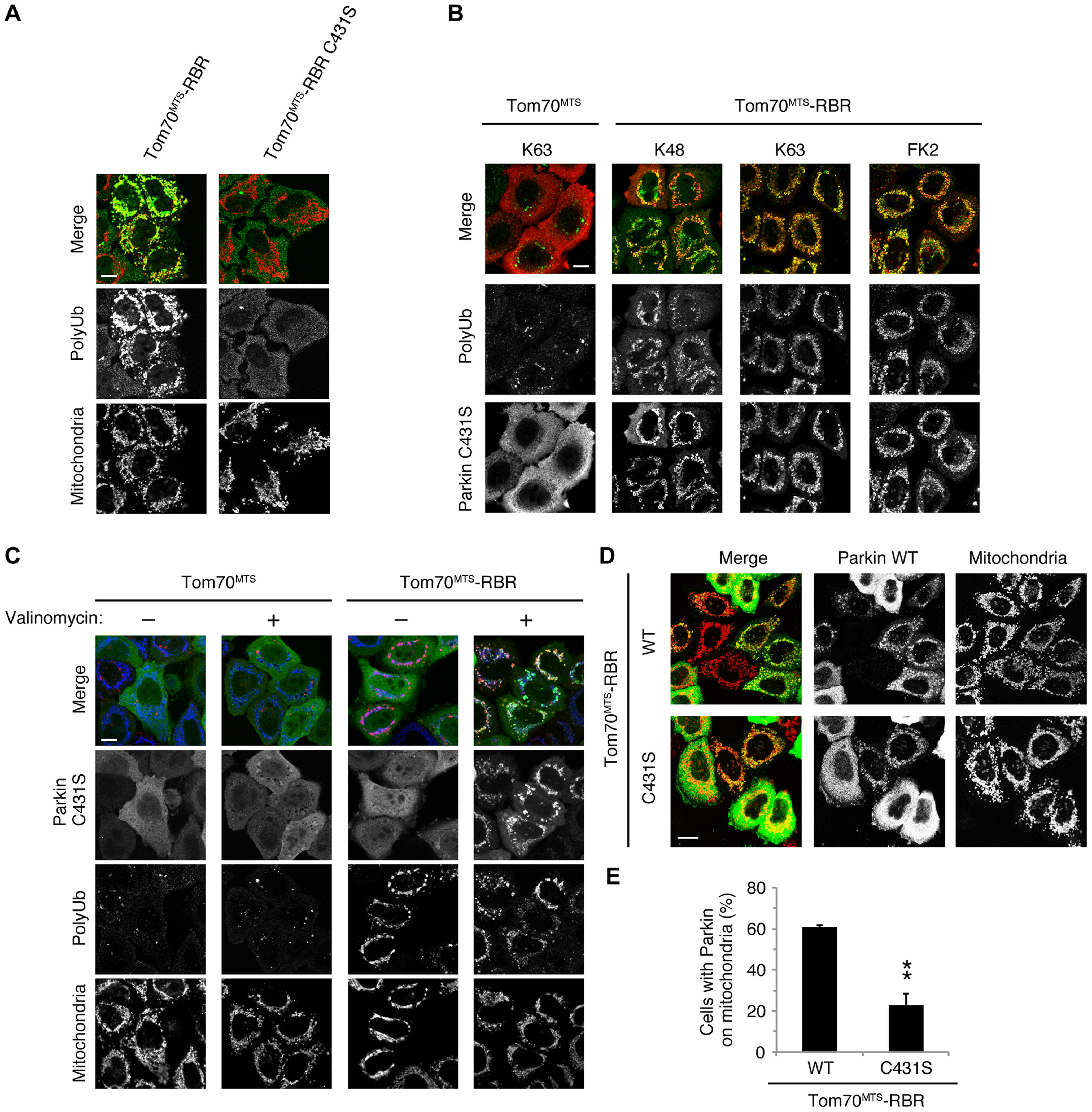 Phospho-polyUb chain on the mitochondria induces the mitochondrial translocation of Parkin.