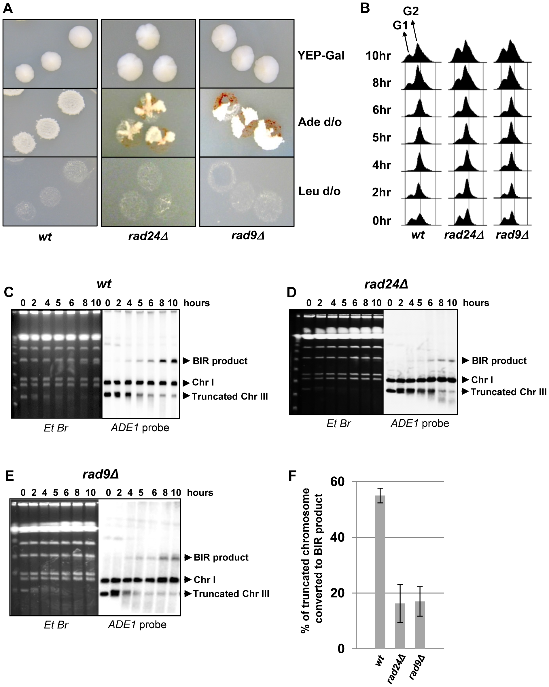 DSB repair in checkpoint-deficient mutants.