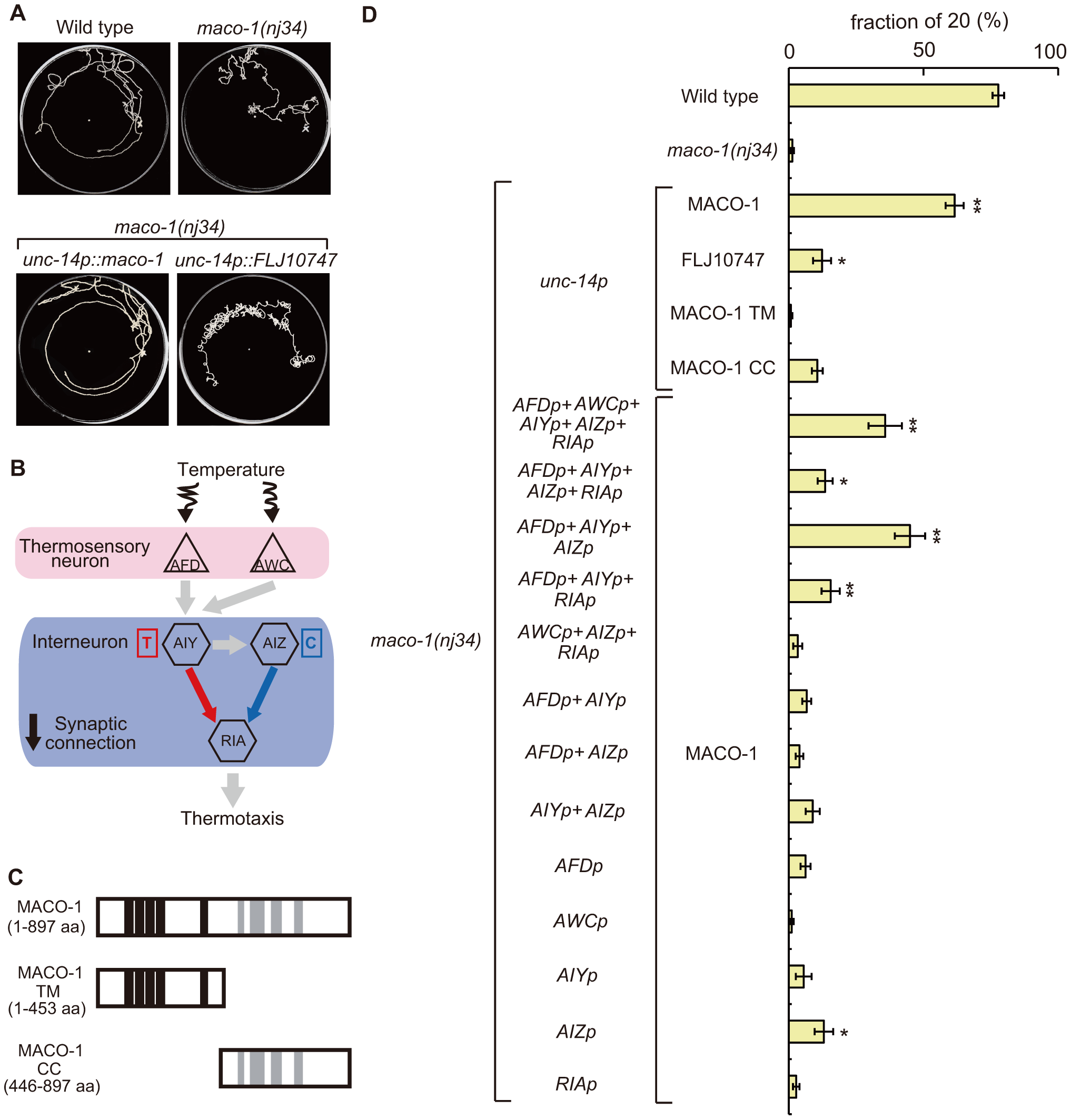 Cell-specific rescue experiments for thermotaxis defects in <i>maco-1(nj34)</i> mutants.